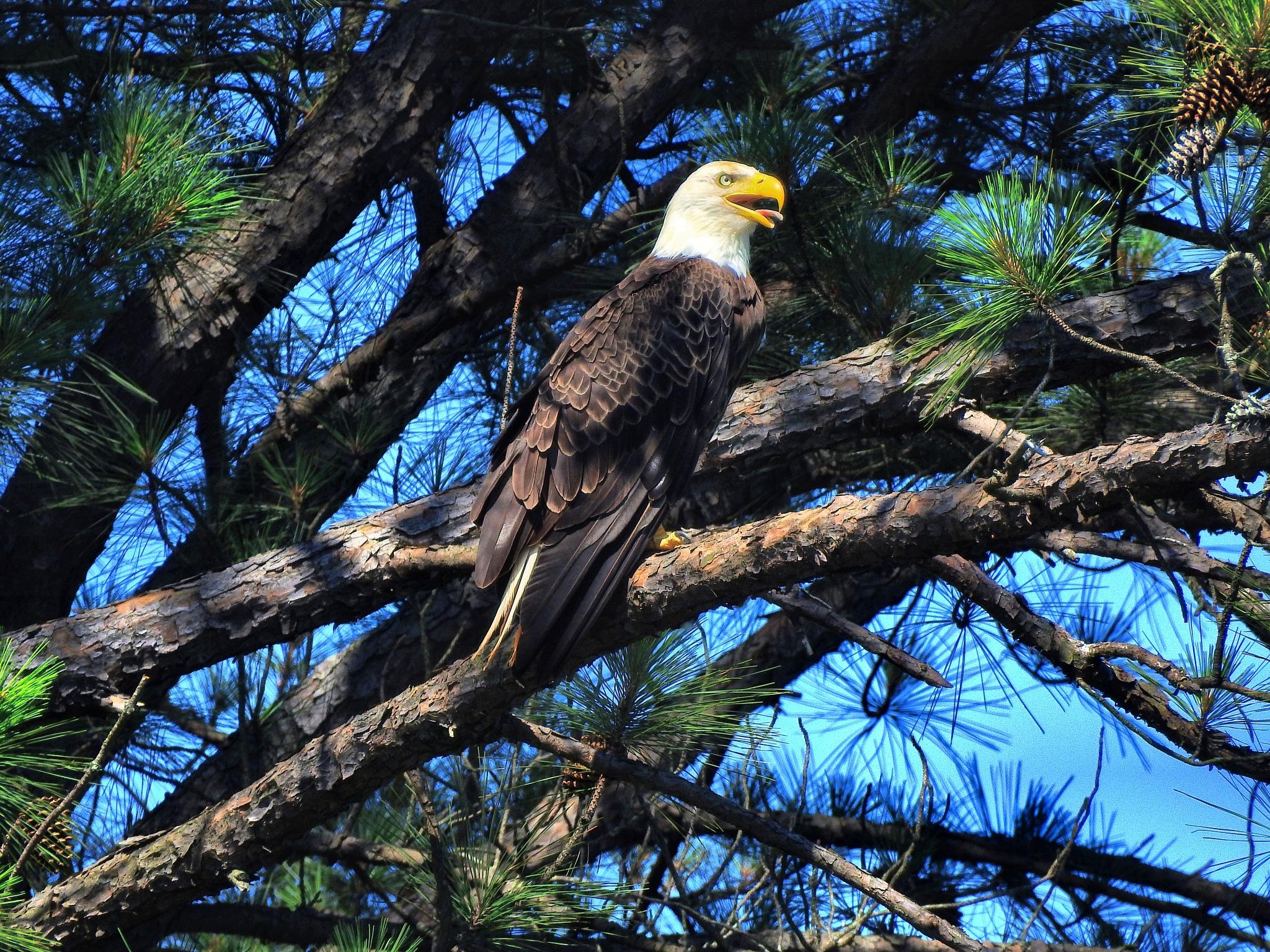 Hot Day Bald Eagle by Patty Stockton