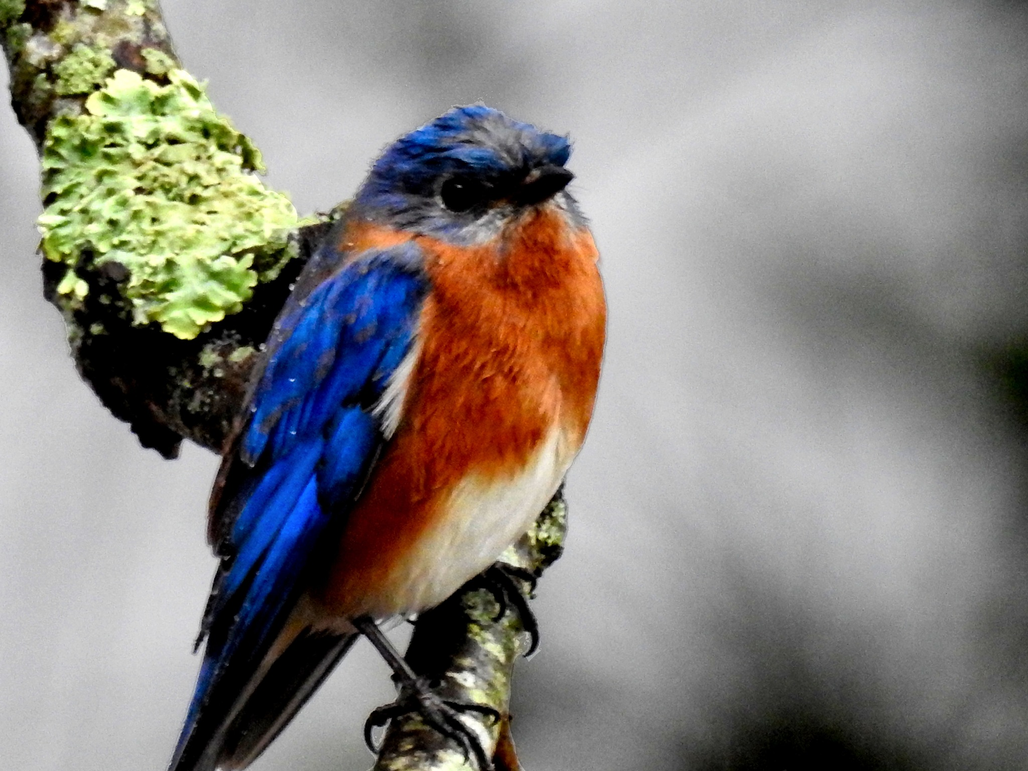 Rainy Day Bluebird by Patty Stockton