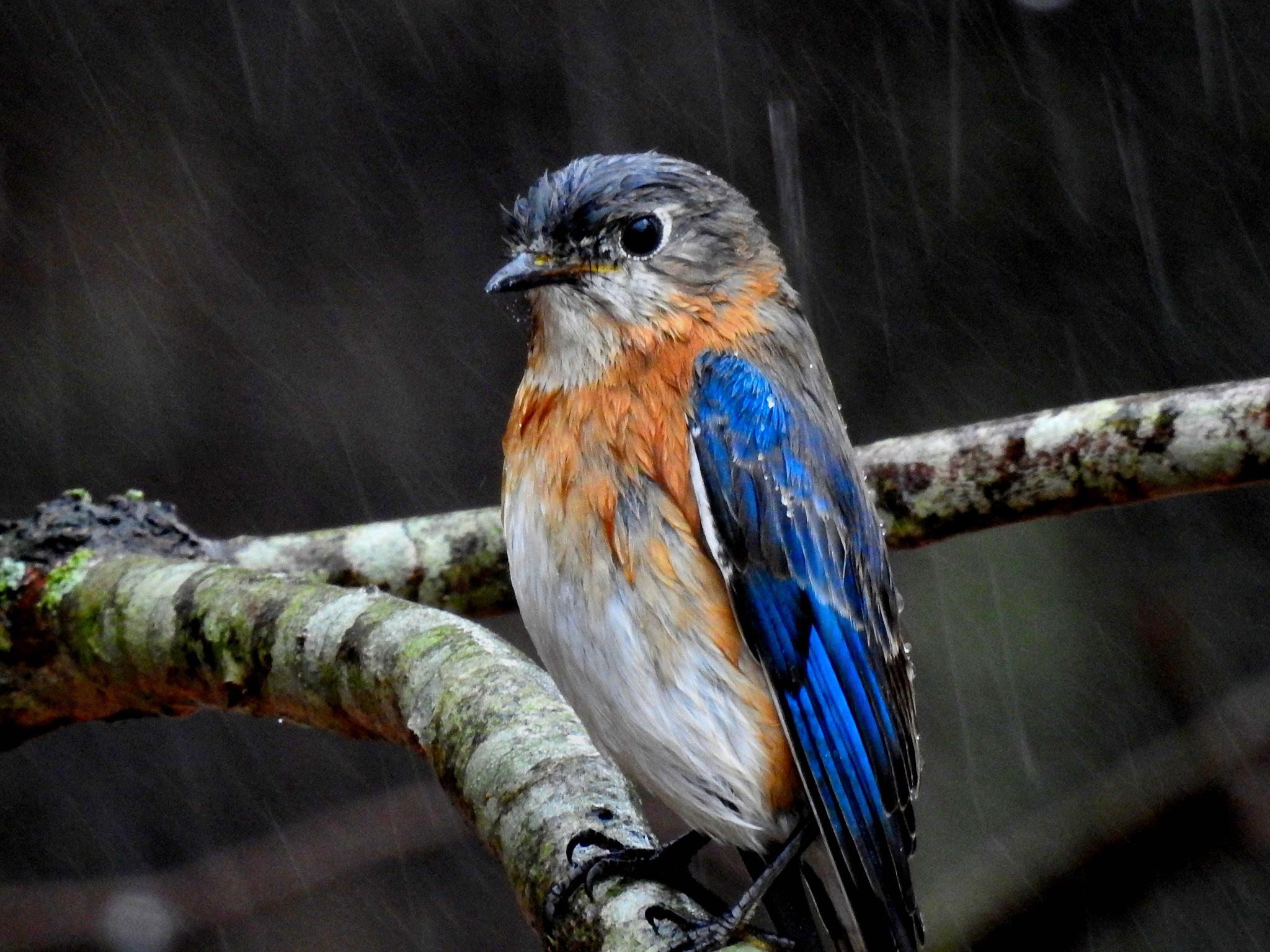 Rainy Day Bluebird by Patty Stockton