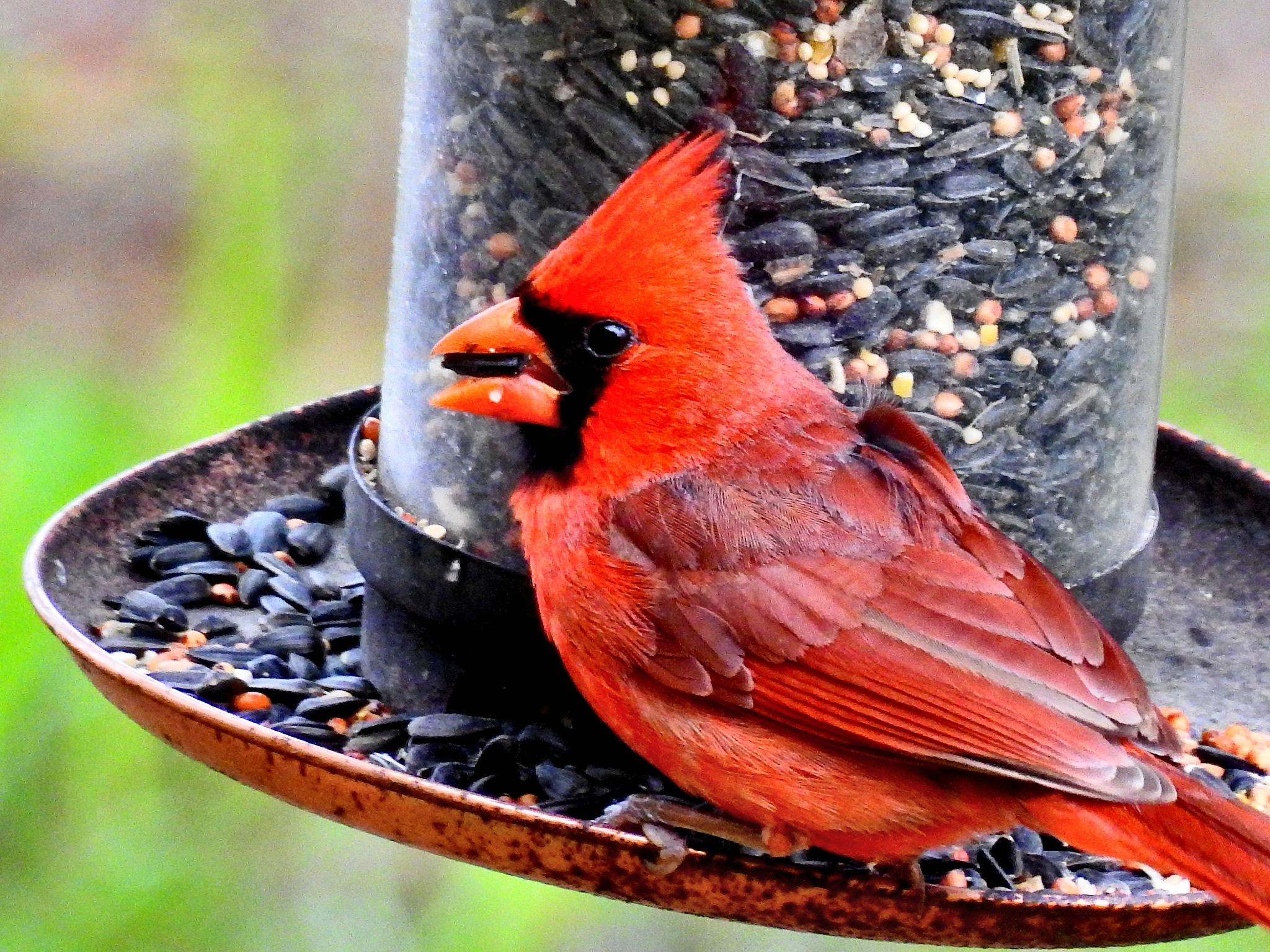 Mr. Cardinal by Patty Stockton