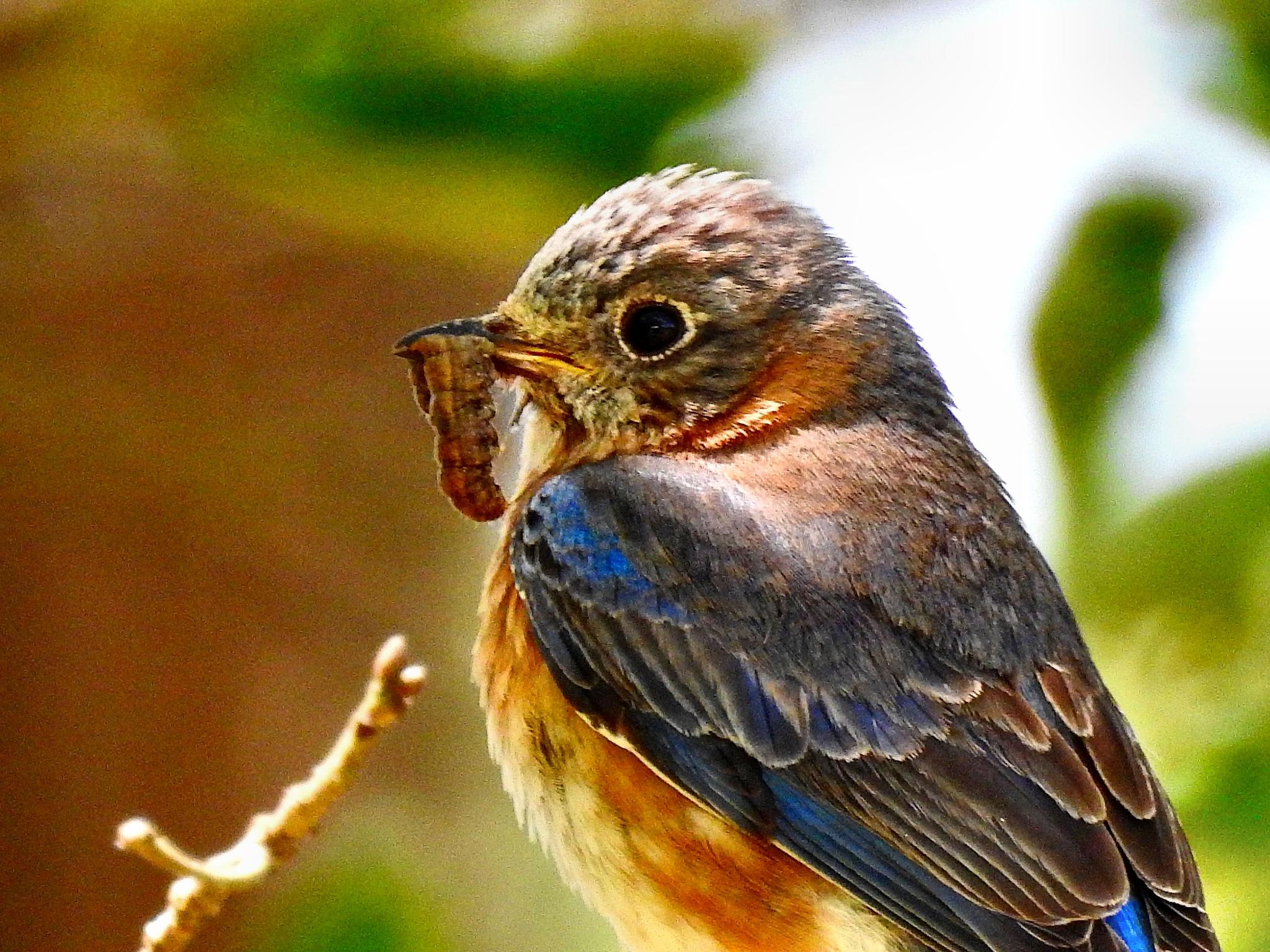Mama Bluebird by Patty Stockton
