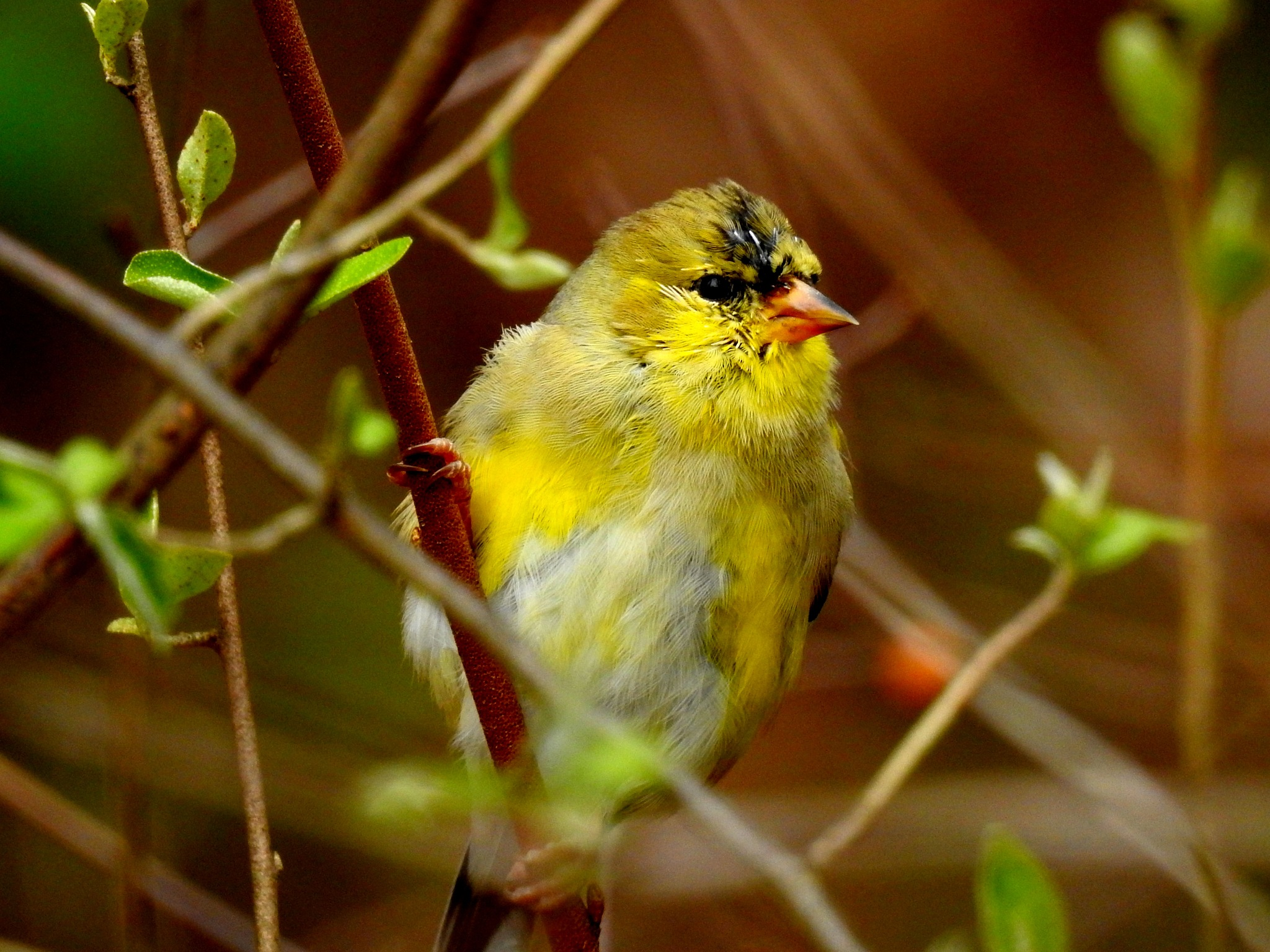 Goldfinch by Patty Stockton