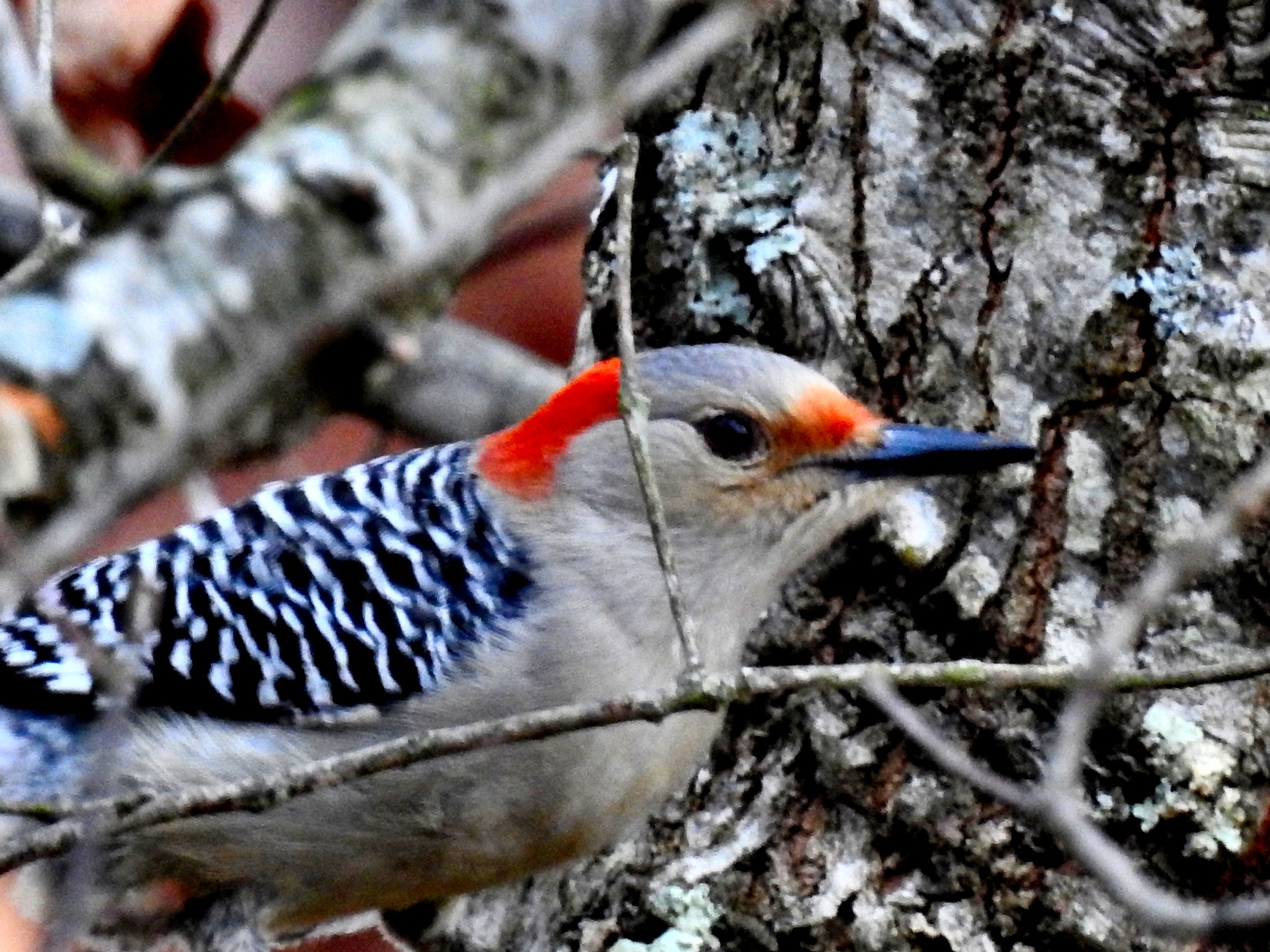 Red Bellied Woodpecker by Patty Stockton