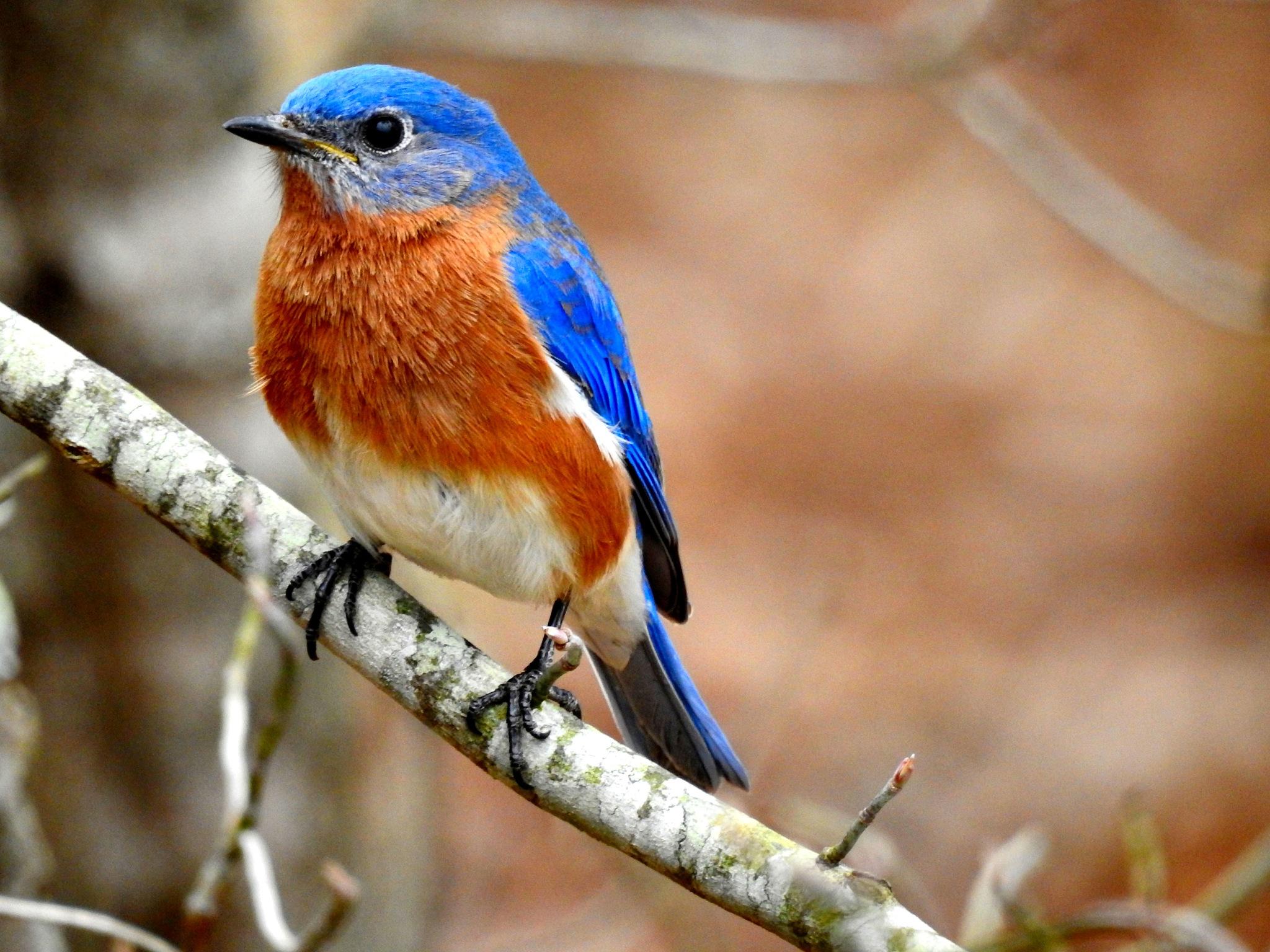 Mr. Bluebird by Patty Stockton