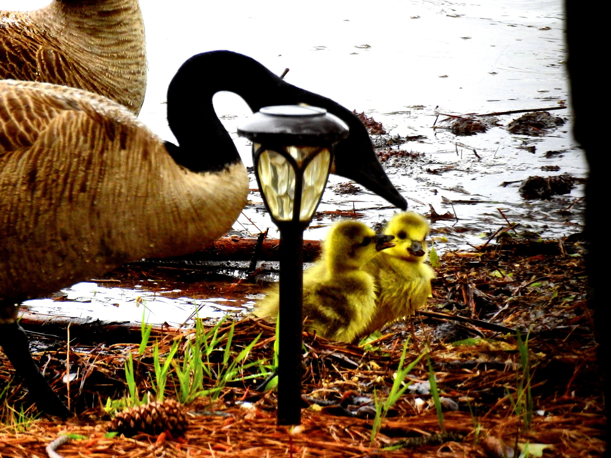 Tiny Canadian Goose Goslings :) by Patty Stockton