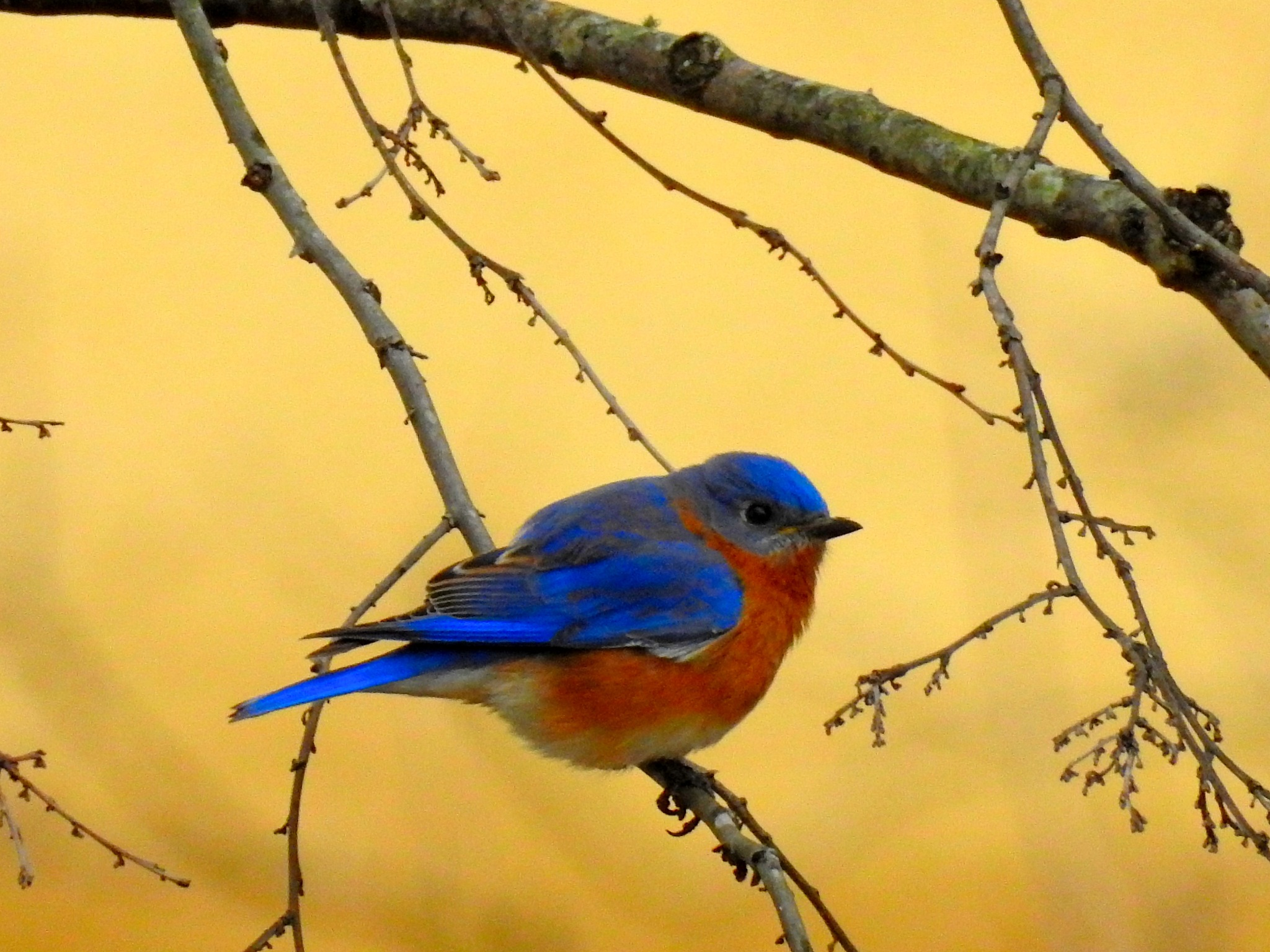 Beautiful Bluebird by Patty Stockton