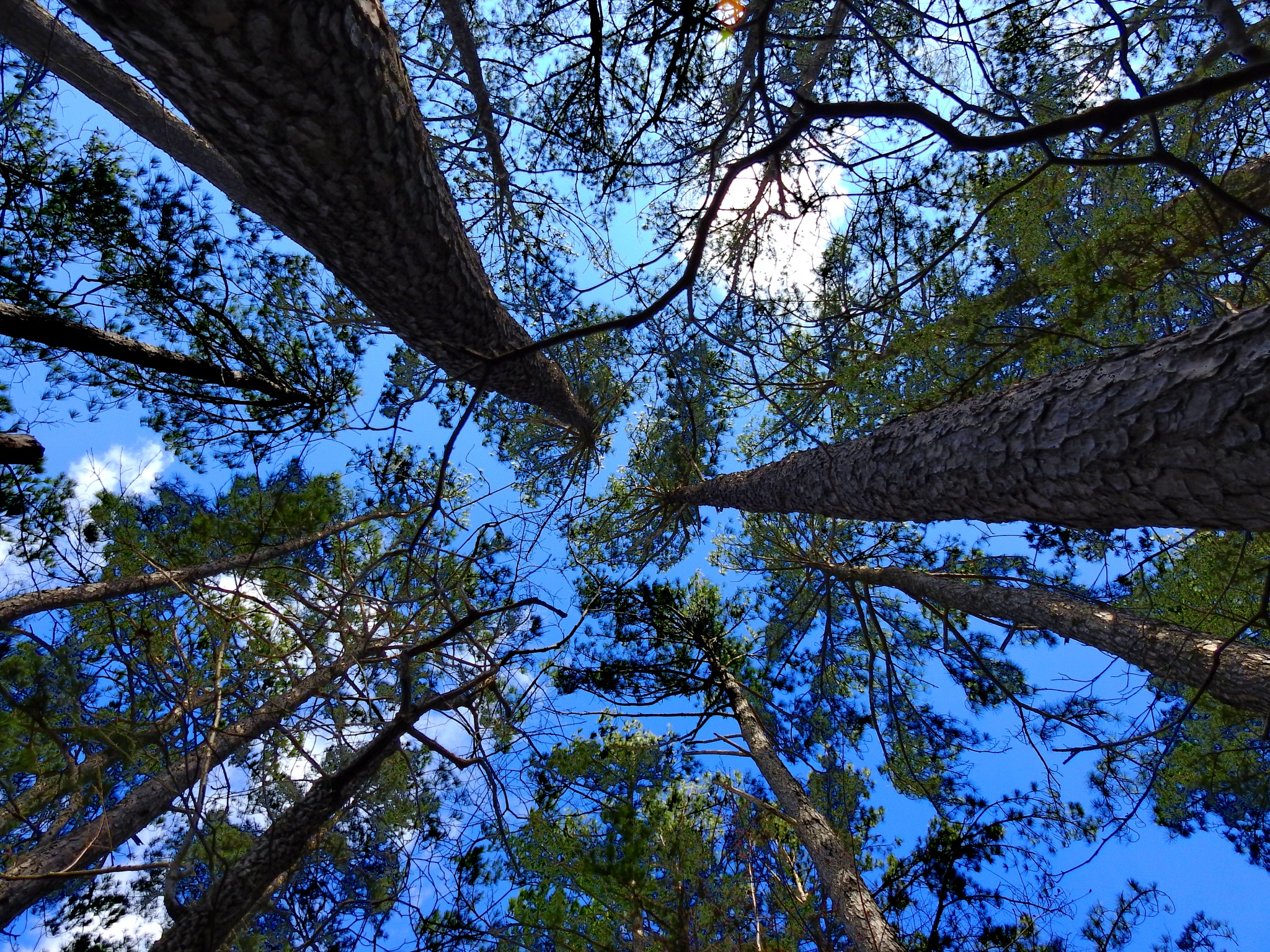 Pine Forest Canopy by Patty Stockton