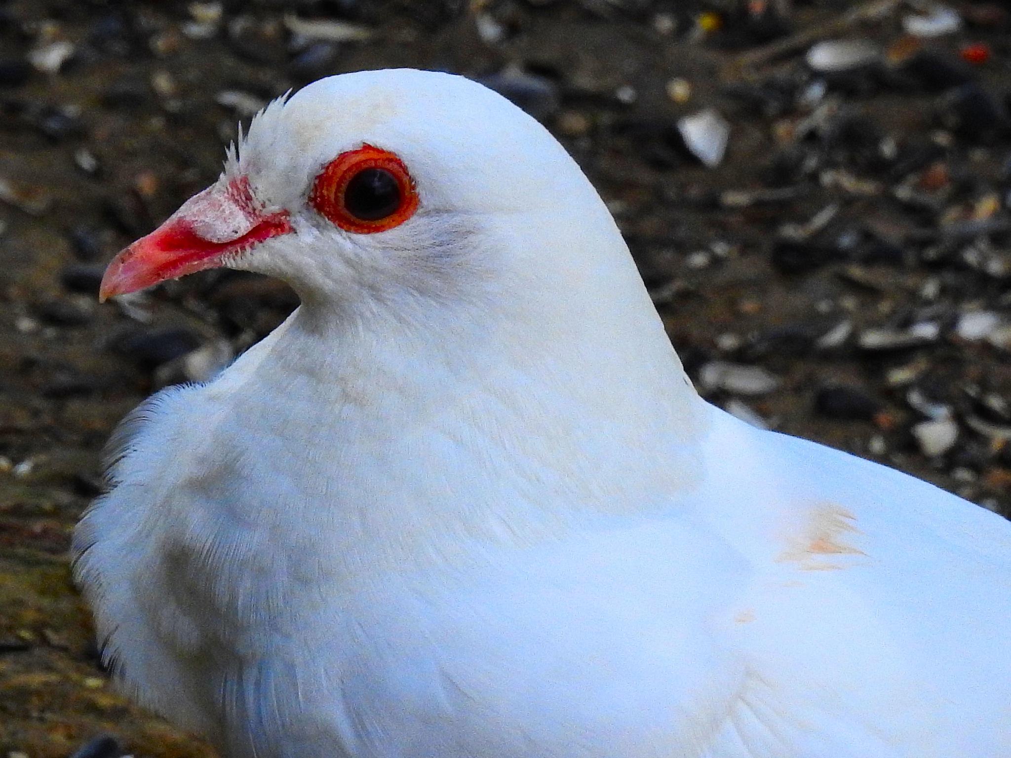 Albino Pigeon by Patty Stockton