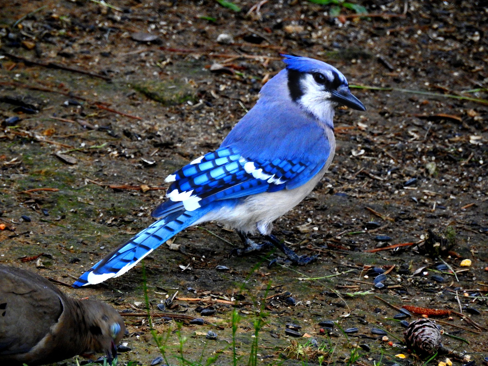 Mr. Blue Jay by Patty Stockton