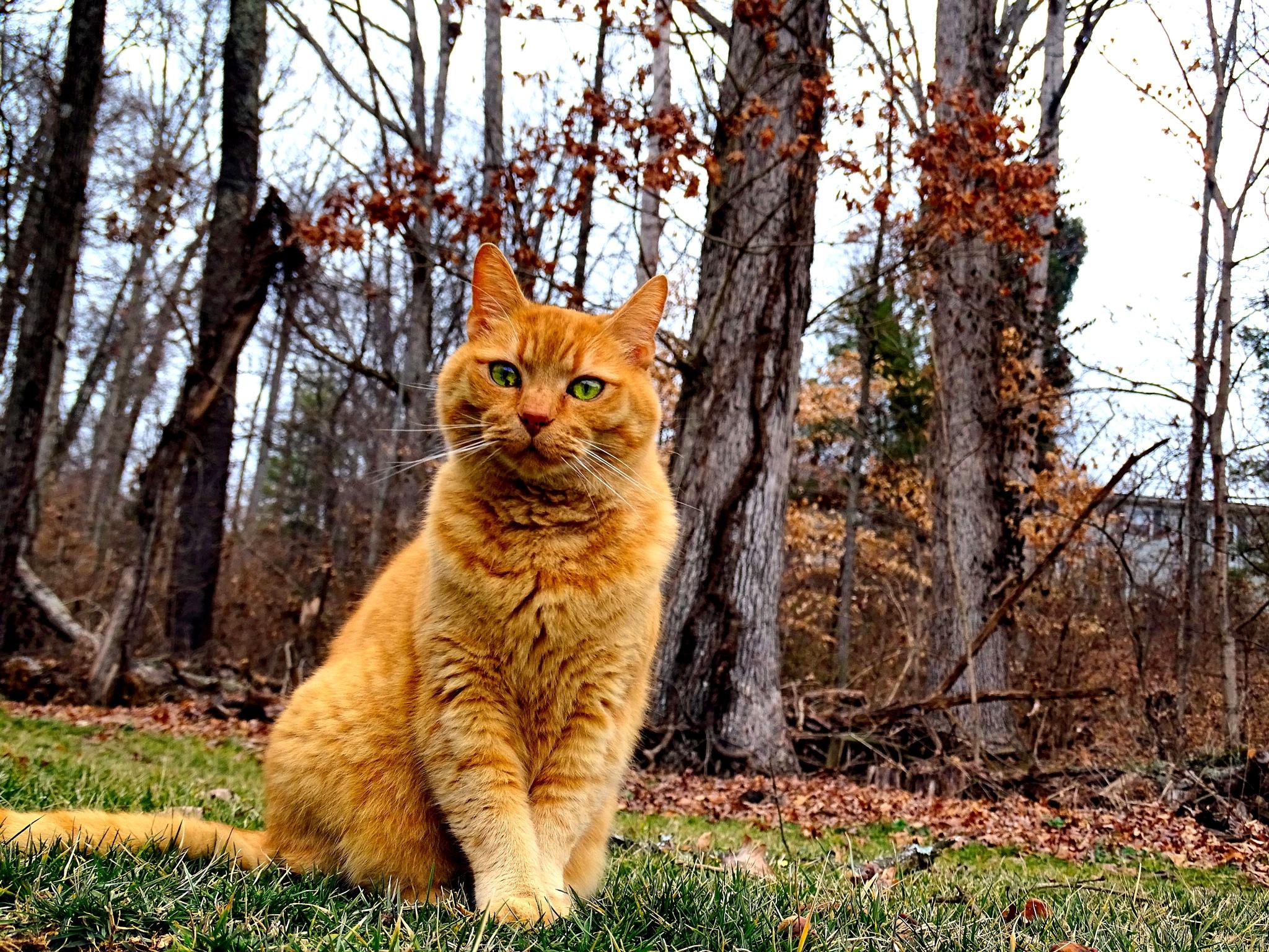 Cider, my Orange Tabby Cat by Patty Stockton