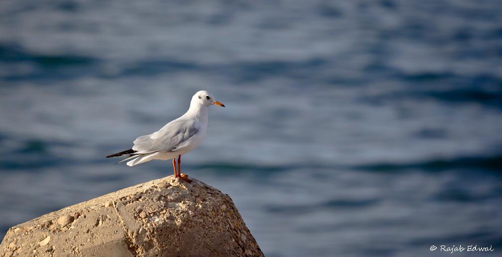 gull .. نورس by rajab