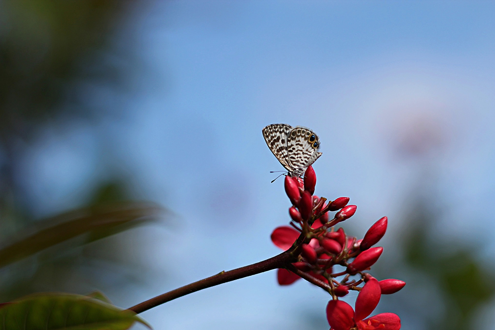 Eastern-Tailed Blue Butterfly by Zohel Mercado