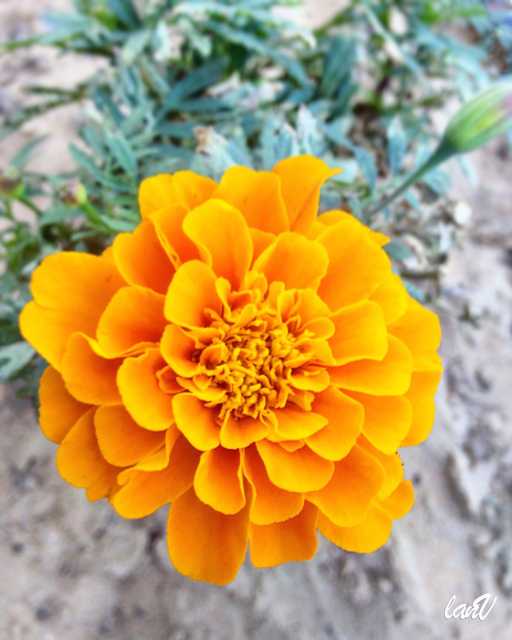 Chrysanthemum in the desert by imsimplylani