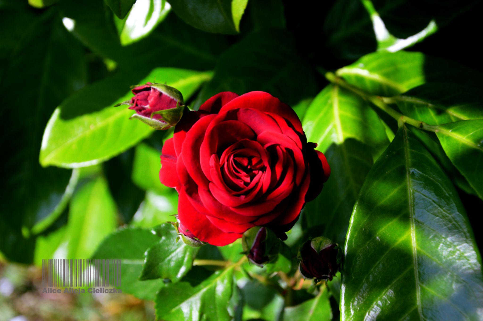 flower14 by alice240