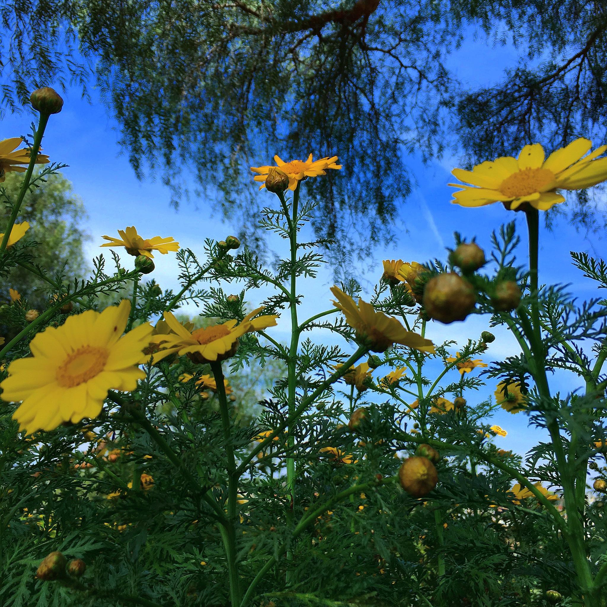 Sunflowers  by wordamouPH
