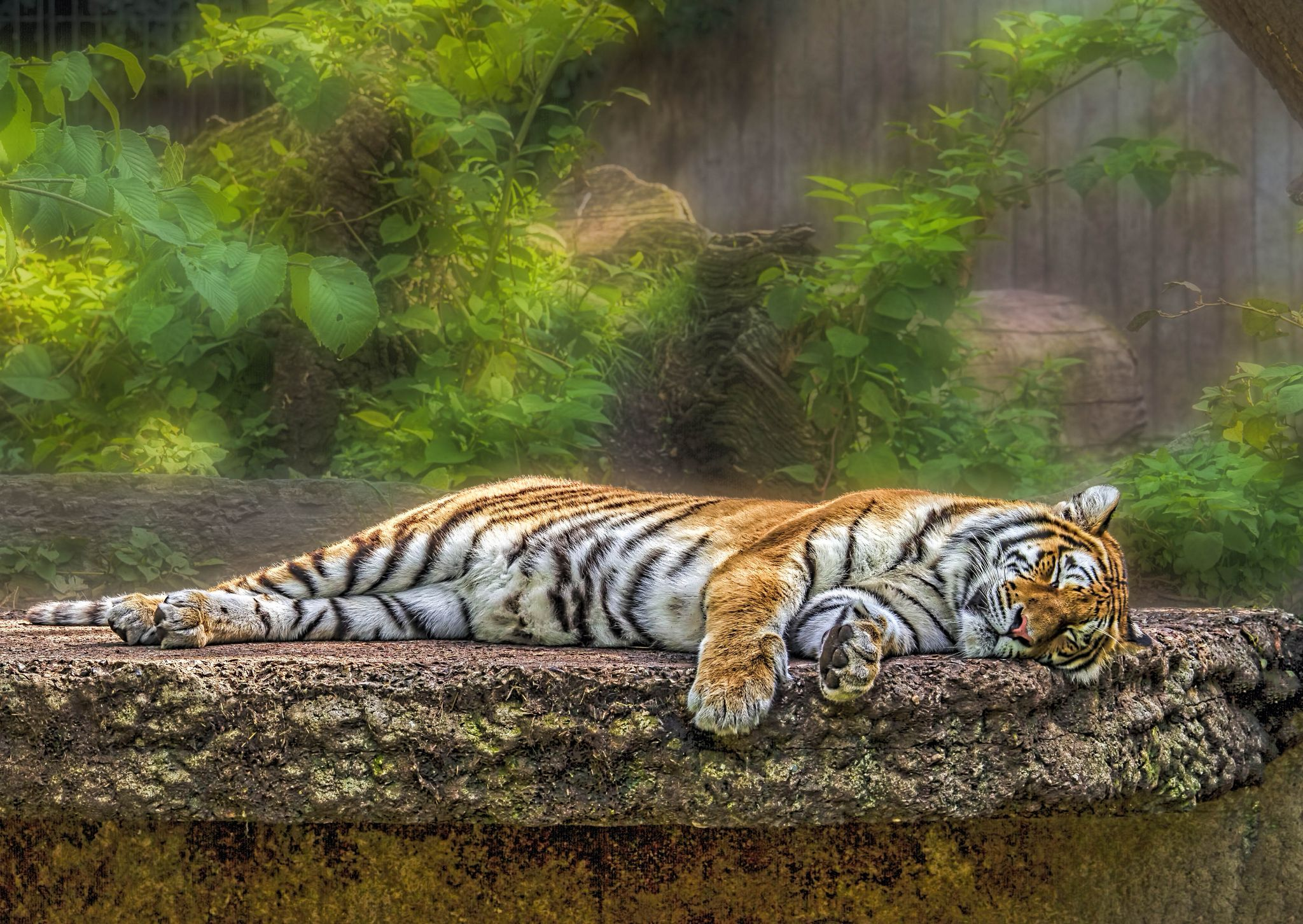 Tiger Nap by mike59