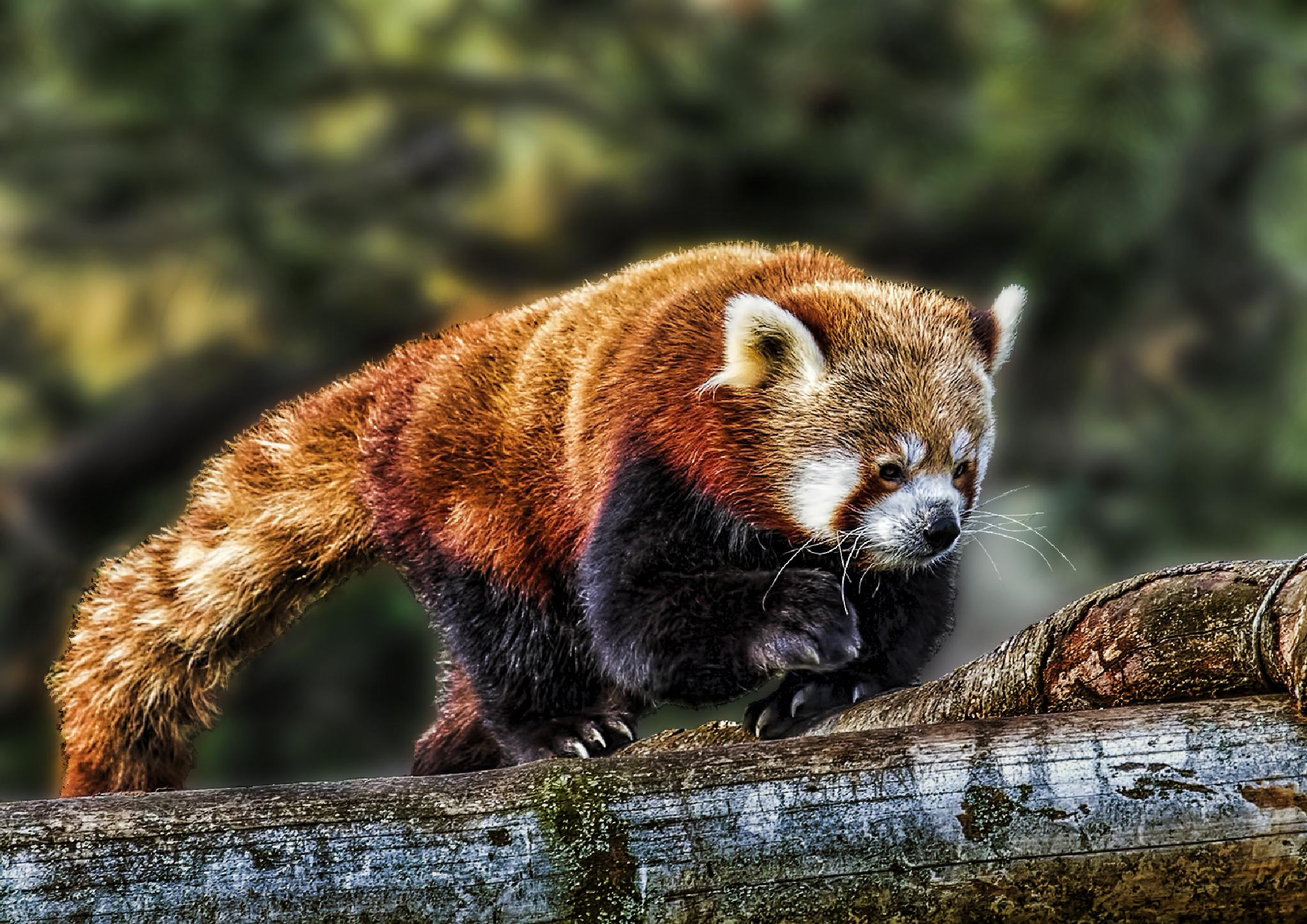 Photo in Animal #panda #animals #zoo