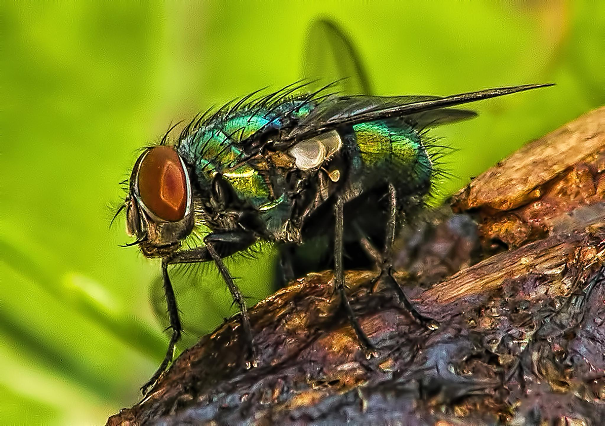 Fly on dung by mike59