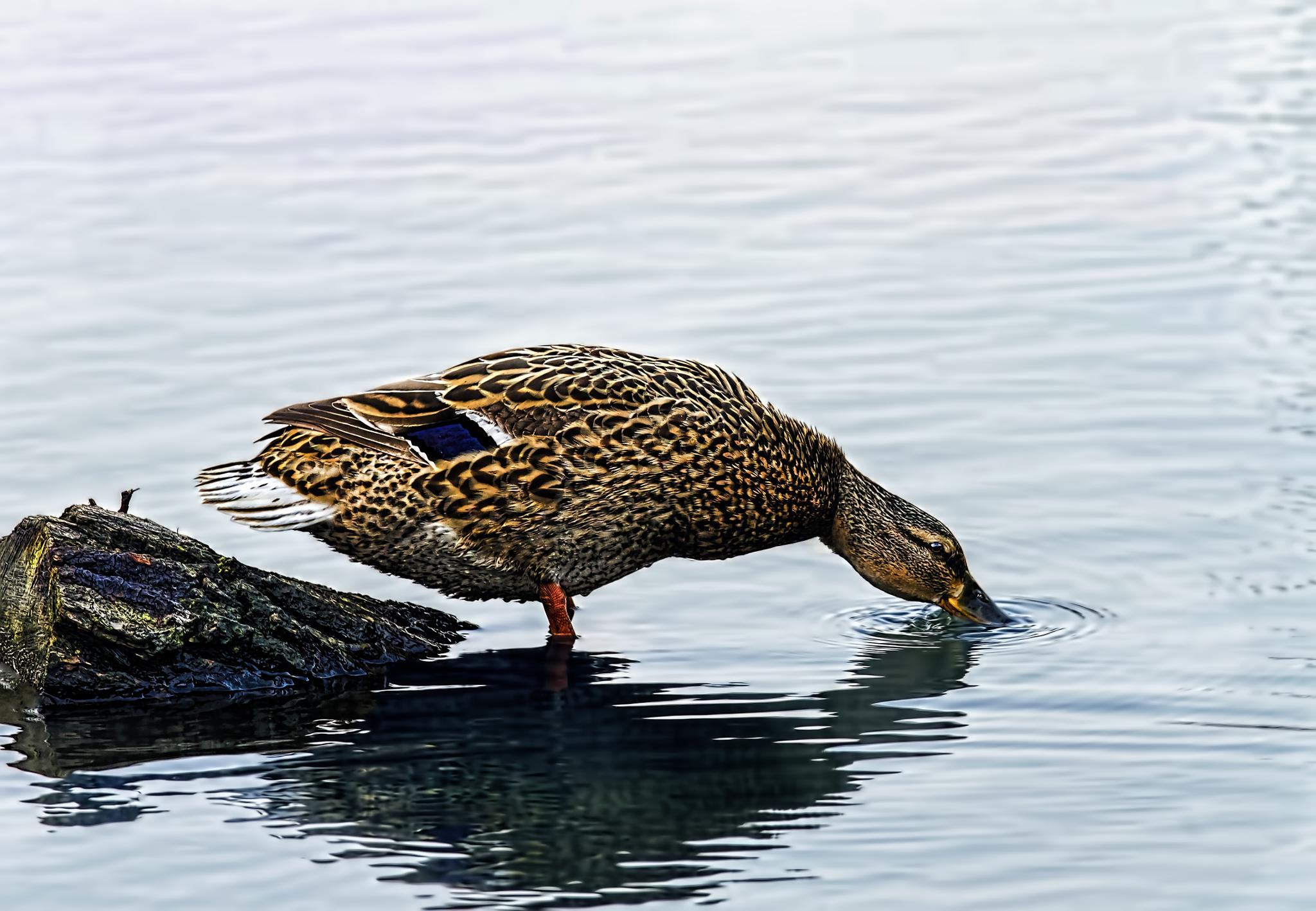 Duck by mike59