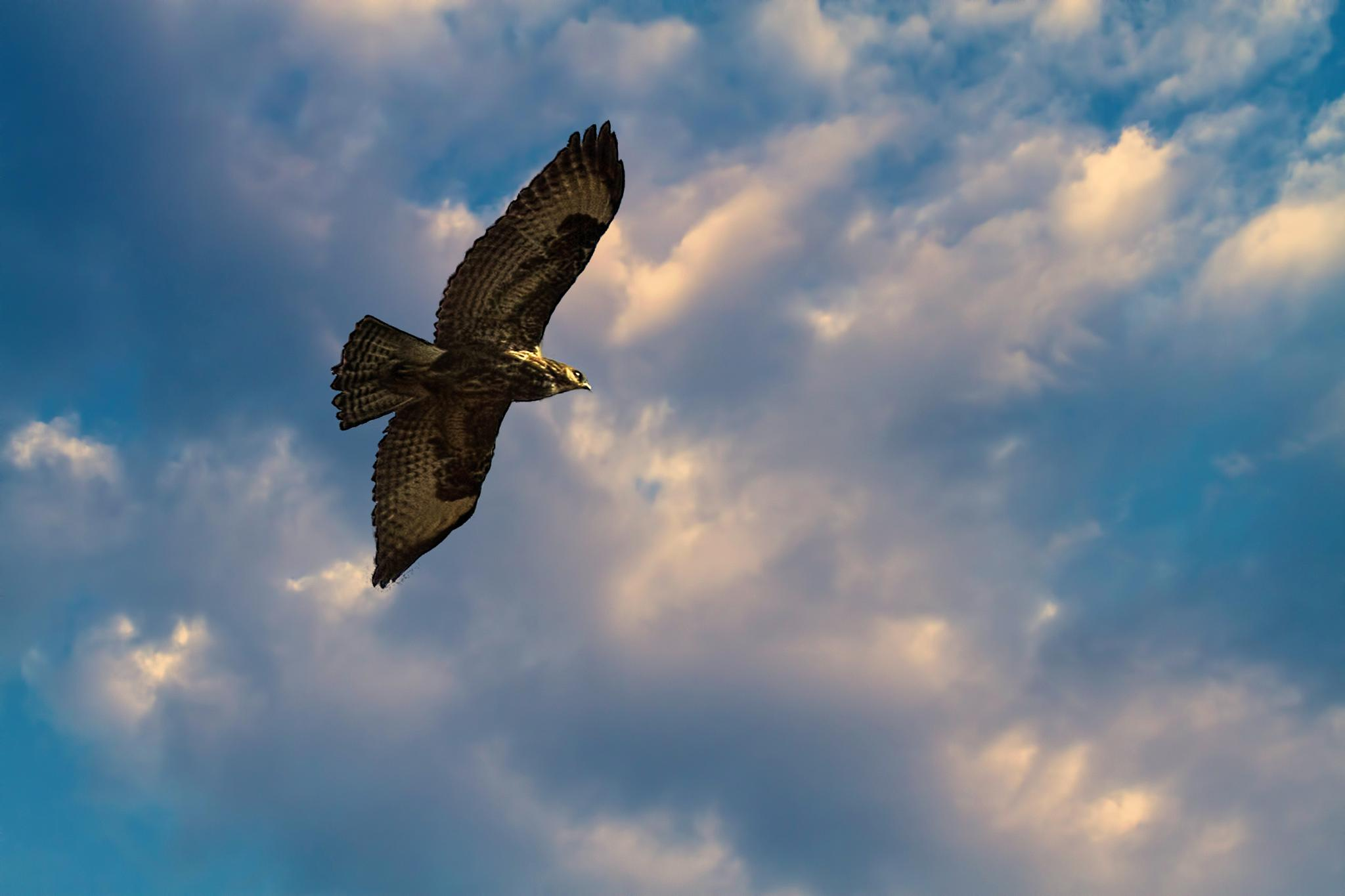 Buzzard by mike59