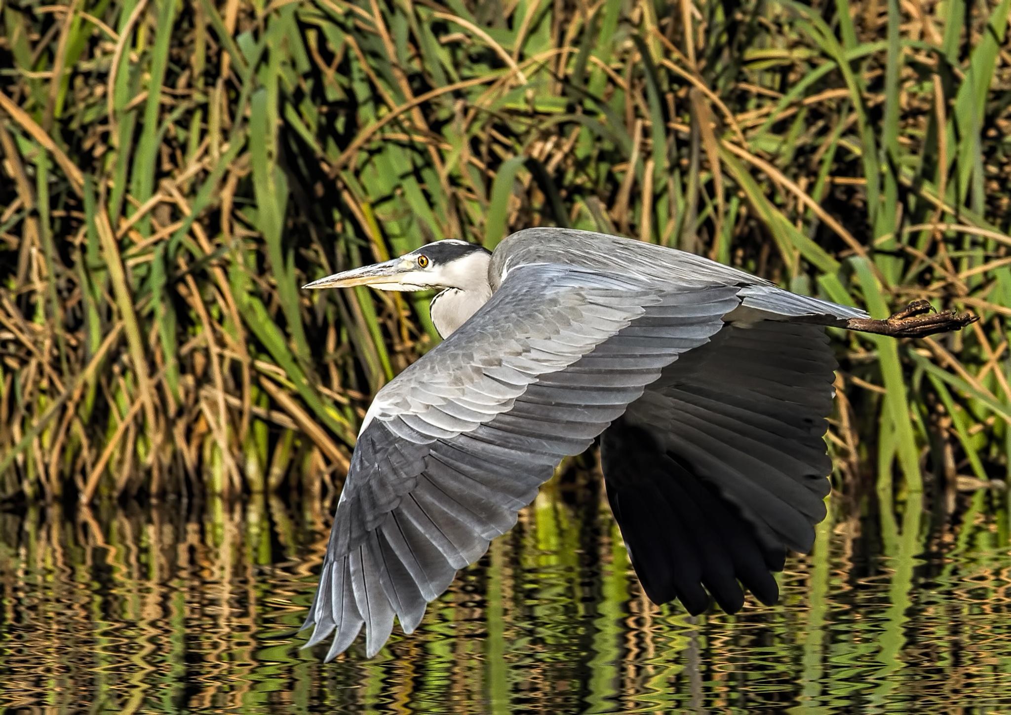 Heron in flight by mike59