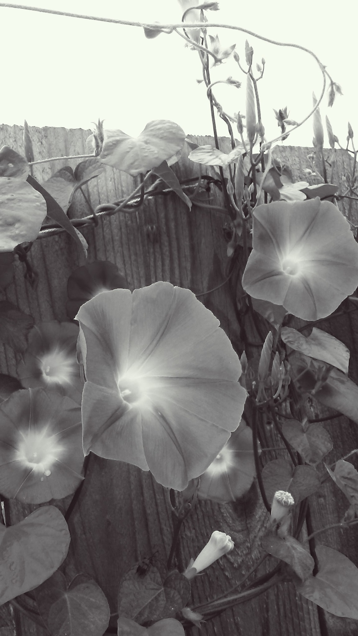 Monochrome Morning Glories by Tammy Dyer