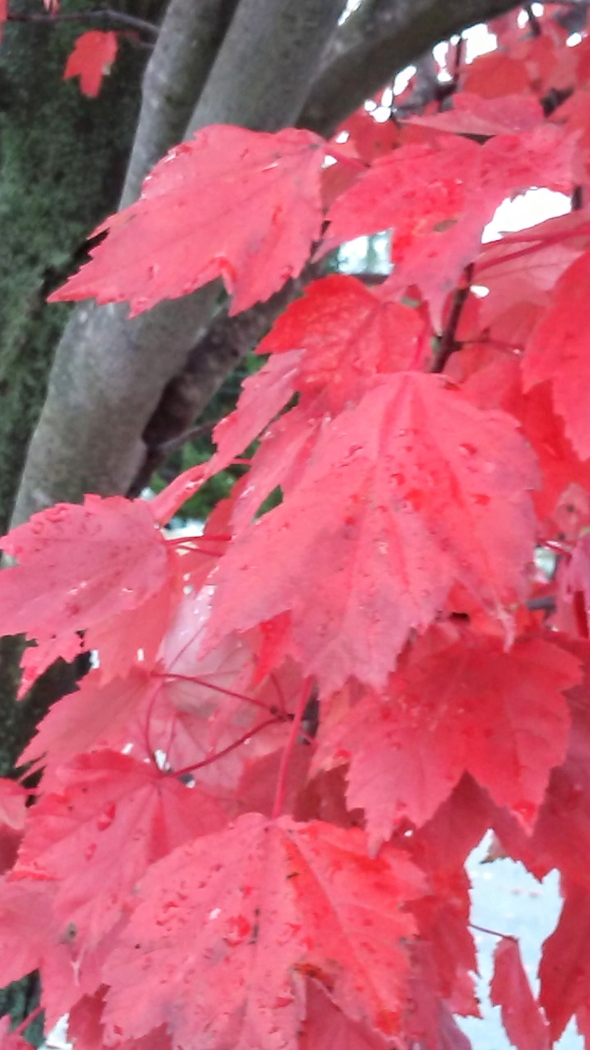 Red Maple by Tammy Dyer