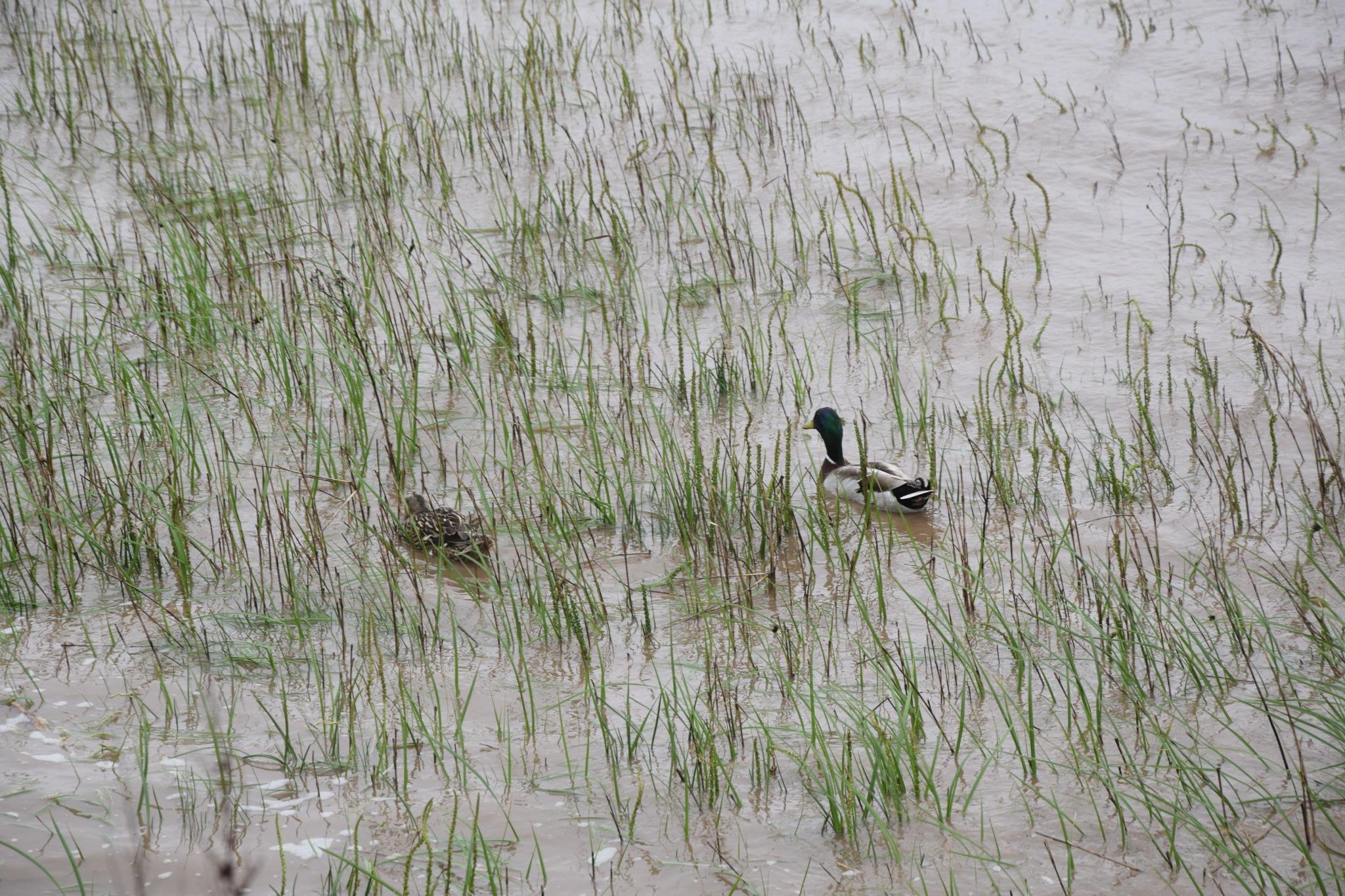 Ducks on the River Humber by GraemeLeePollard