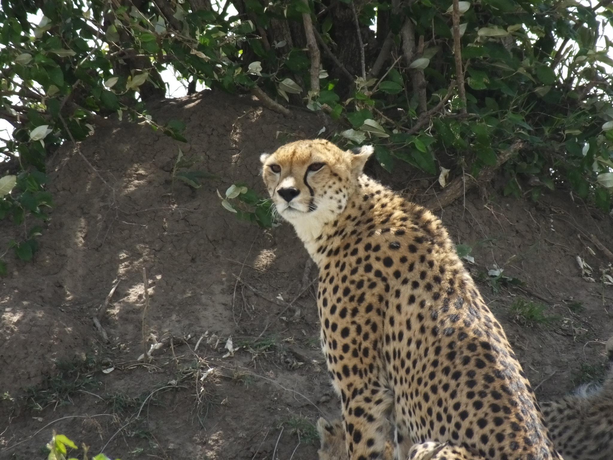 Cheetah by Pyoungyong