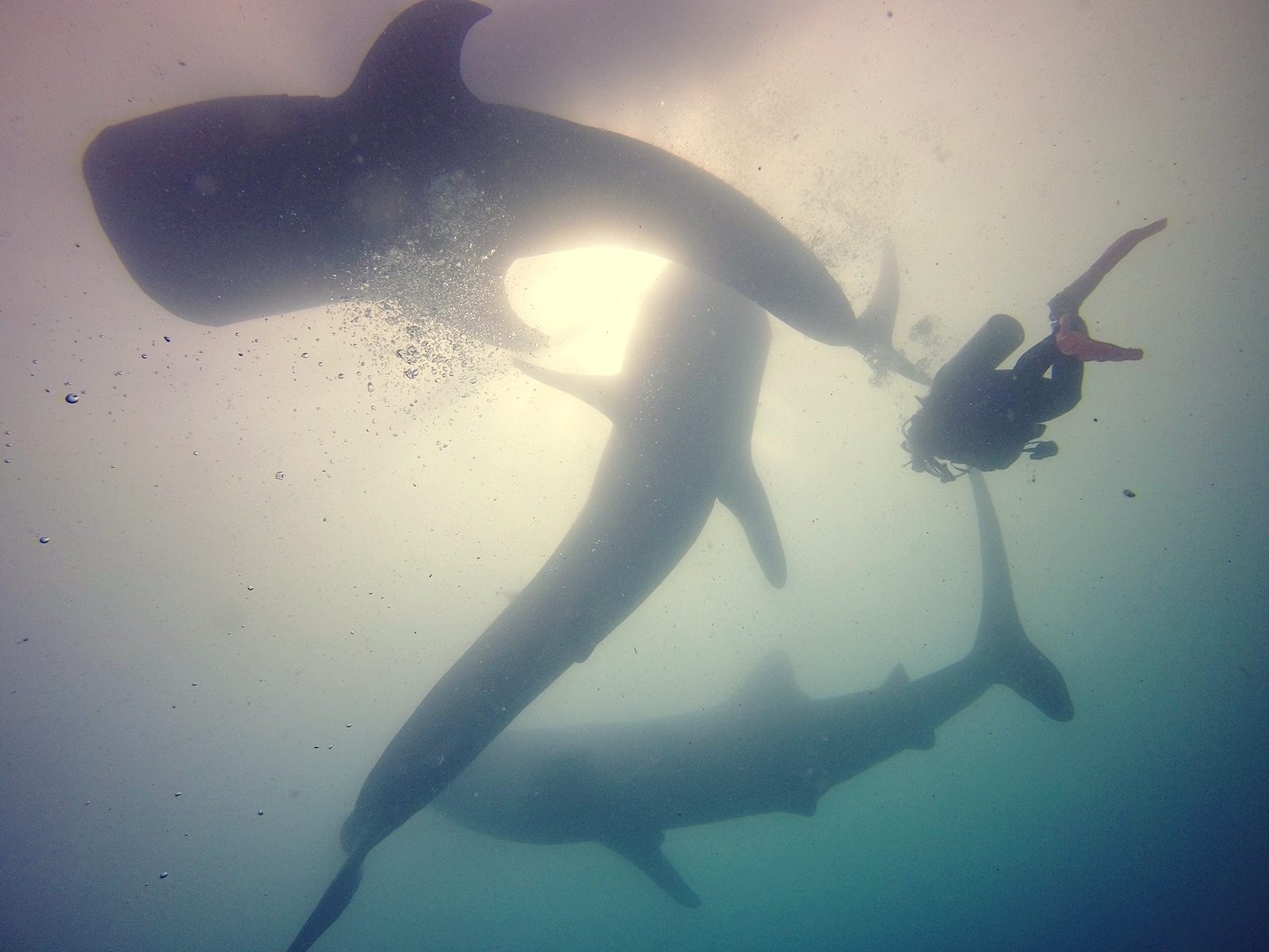 Playing with the Giant, Whale Sharks by Renny Puspita