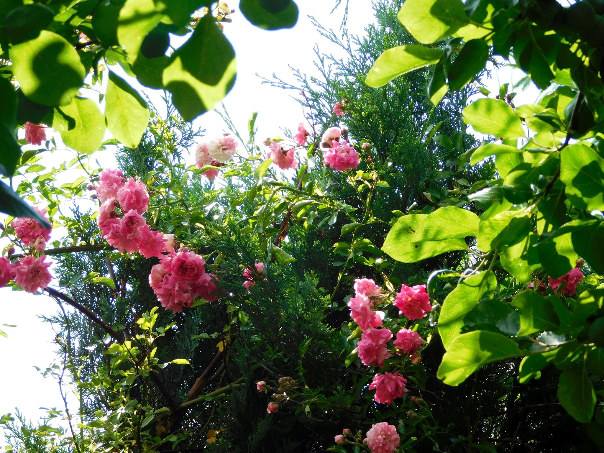 róże ogr1 by Zbyszek Kolano