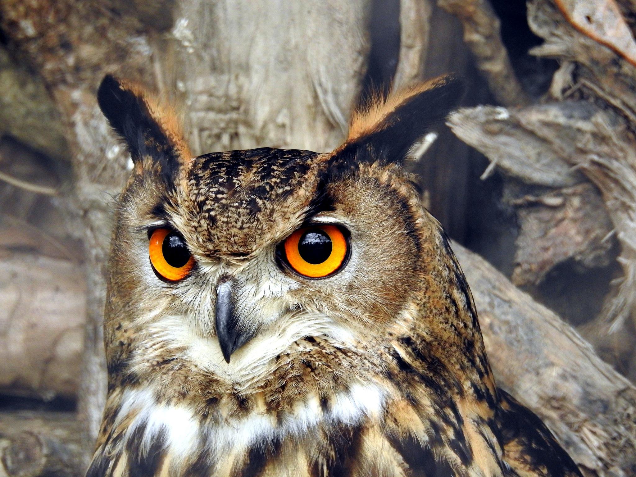 The Eagle Owl's Eyes by Arnaldo De Lisio