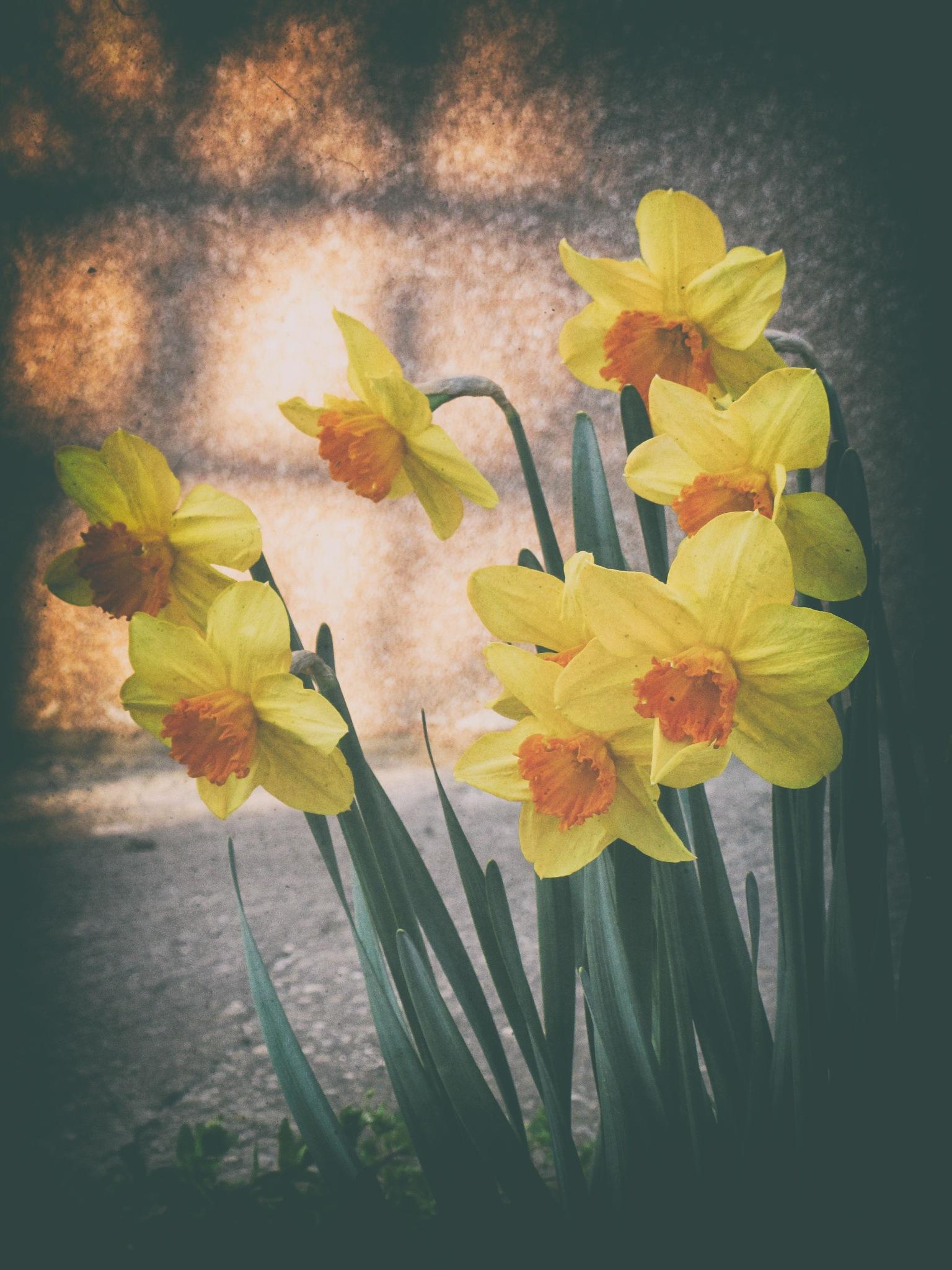 daffodils by Javorka