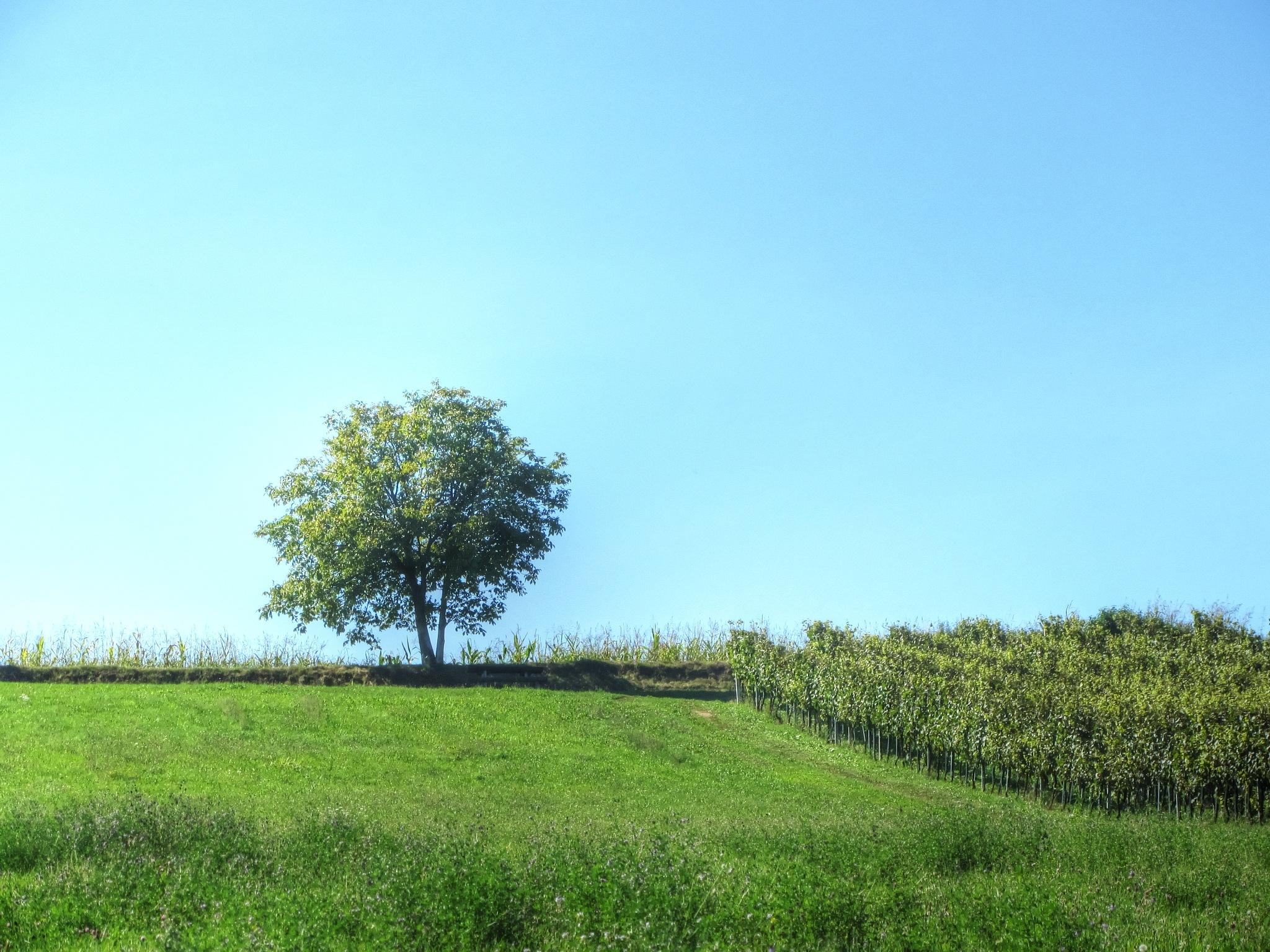 Vineyard by Javorka