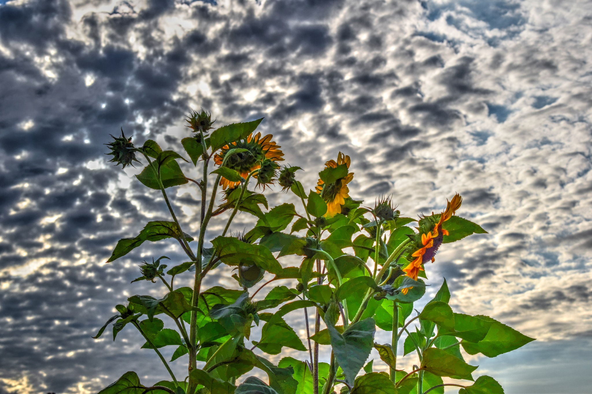 Sunflowers by Javorka