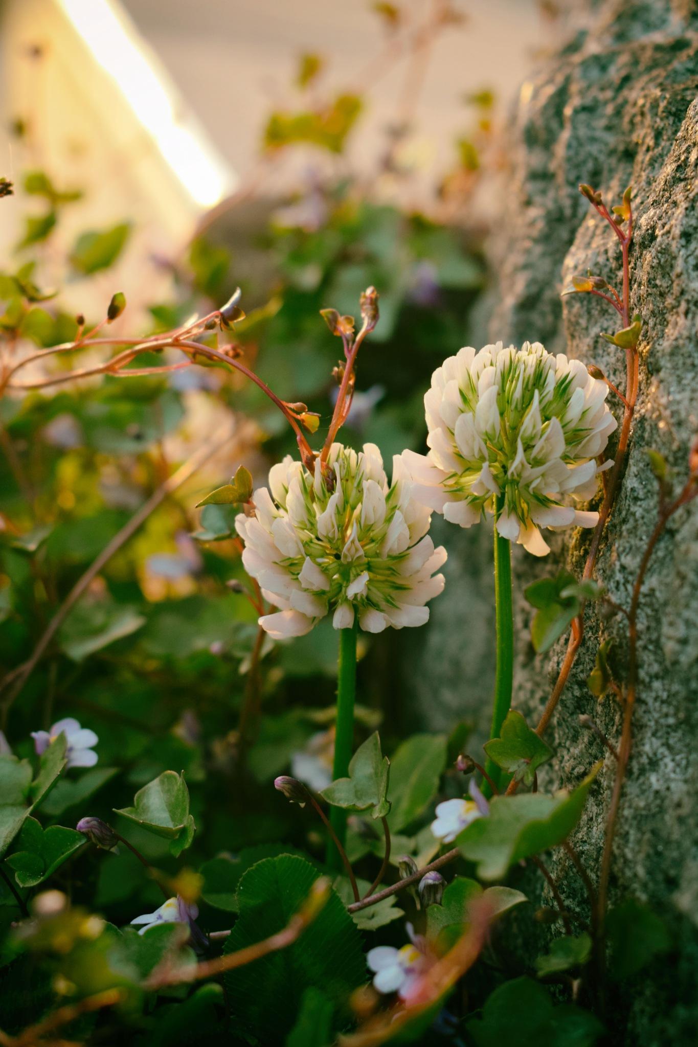 White clover by Javorka