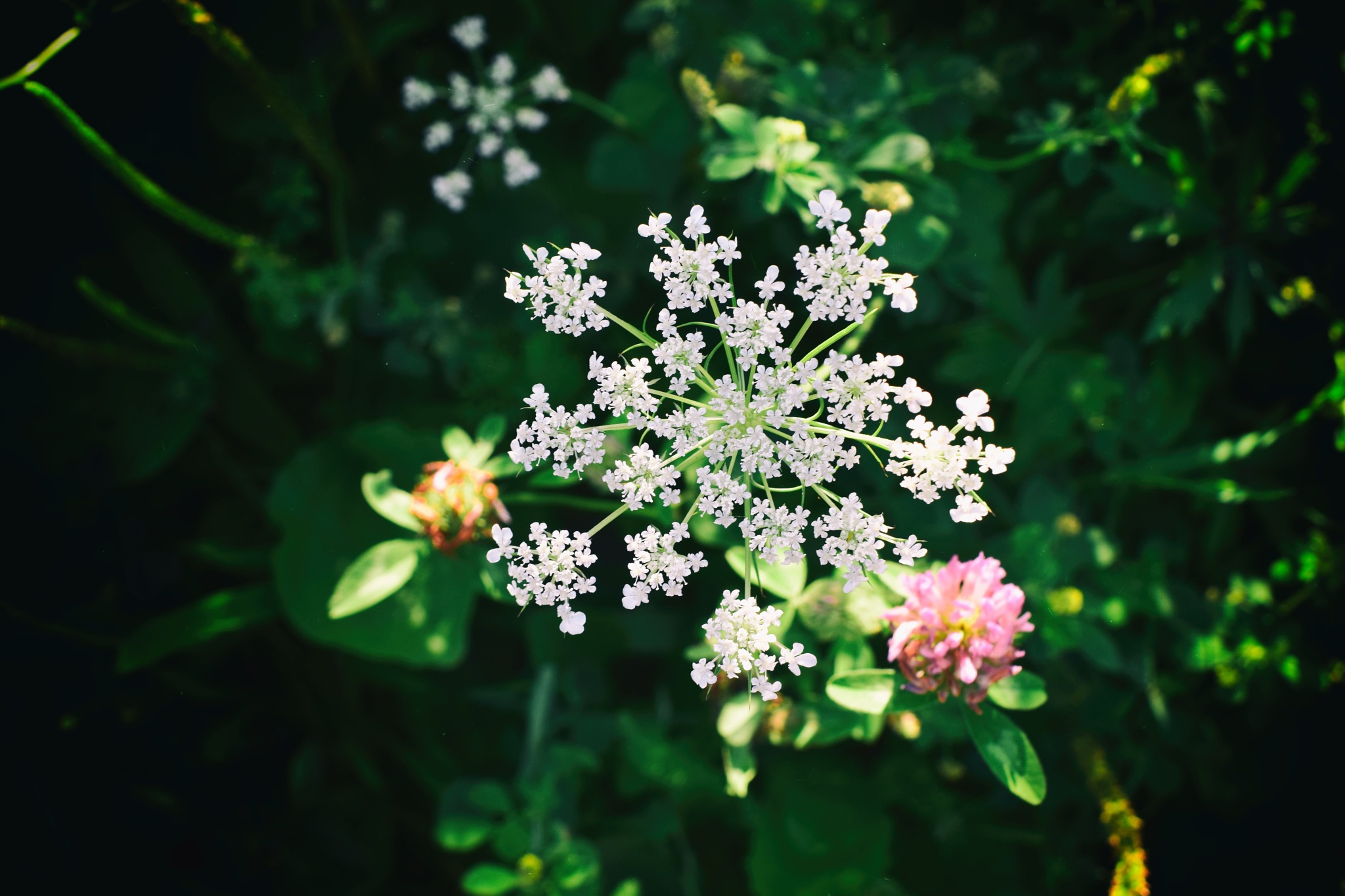 wild carrots by Javorka