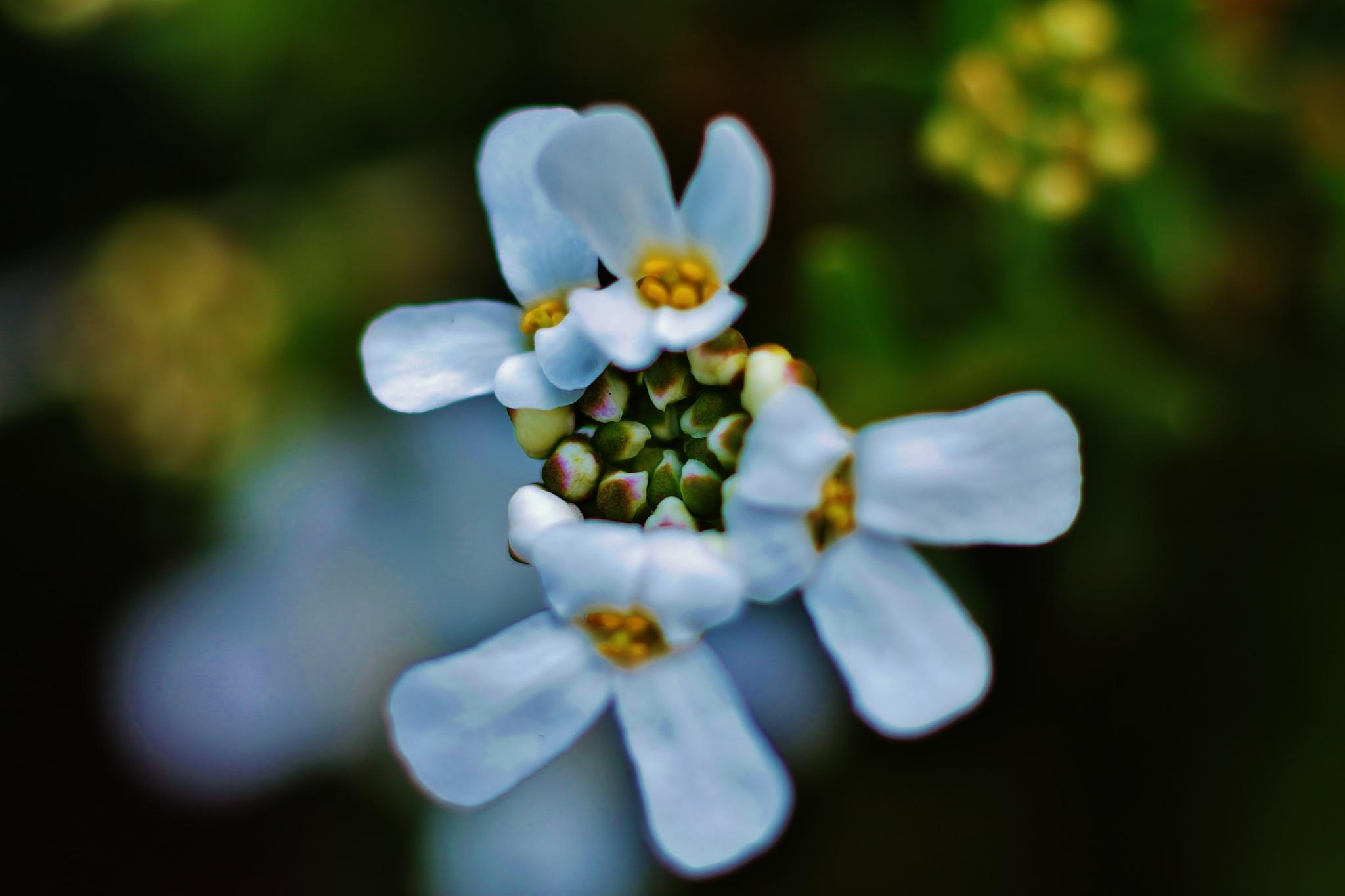 petites fleurs blanche1, by Liborio Drogo