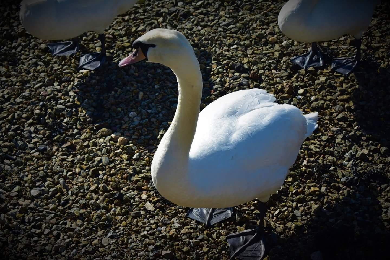 swan posing by Alex Gibson