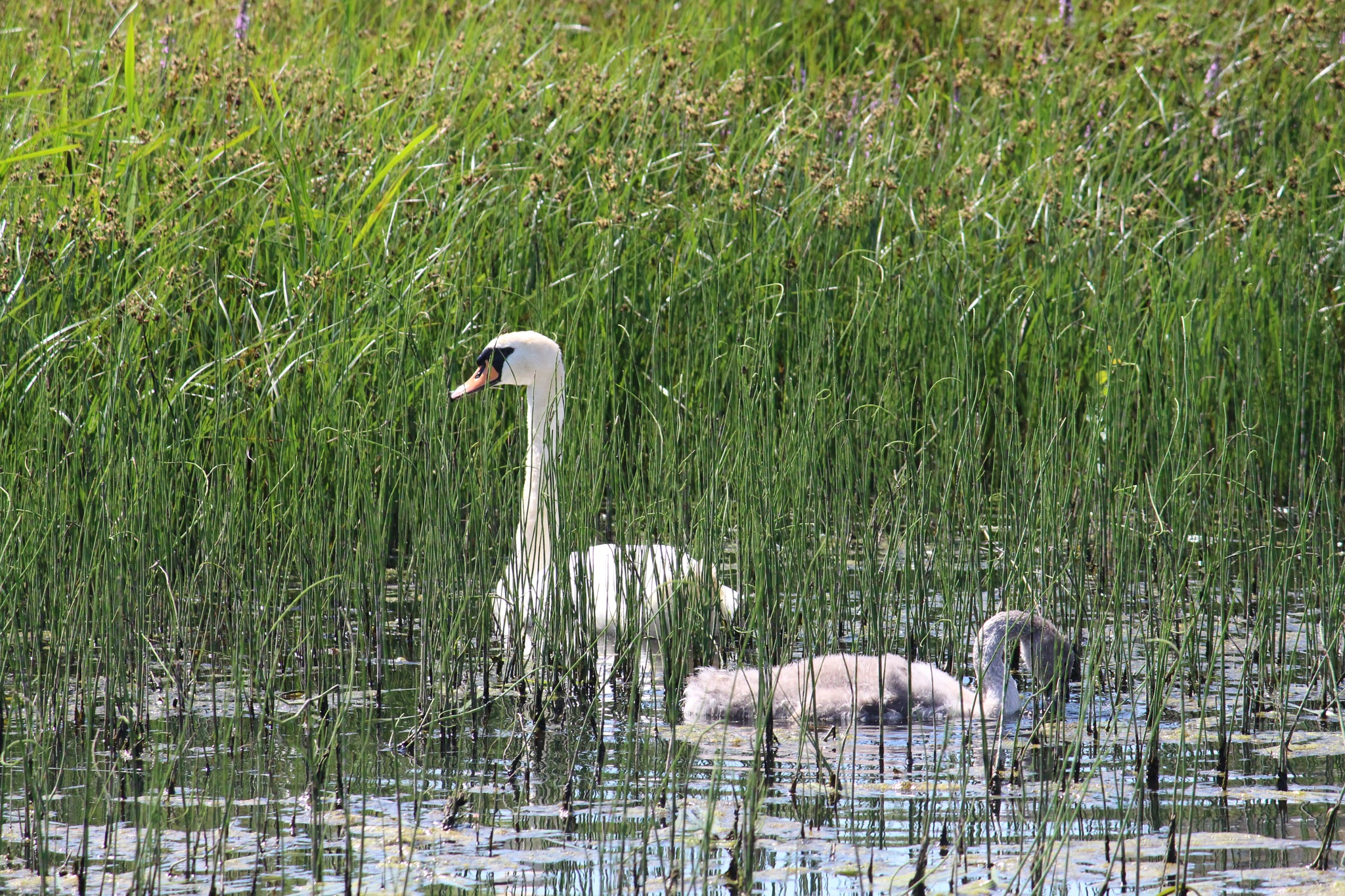 Swans in the reeds by FrankieS