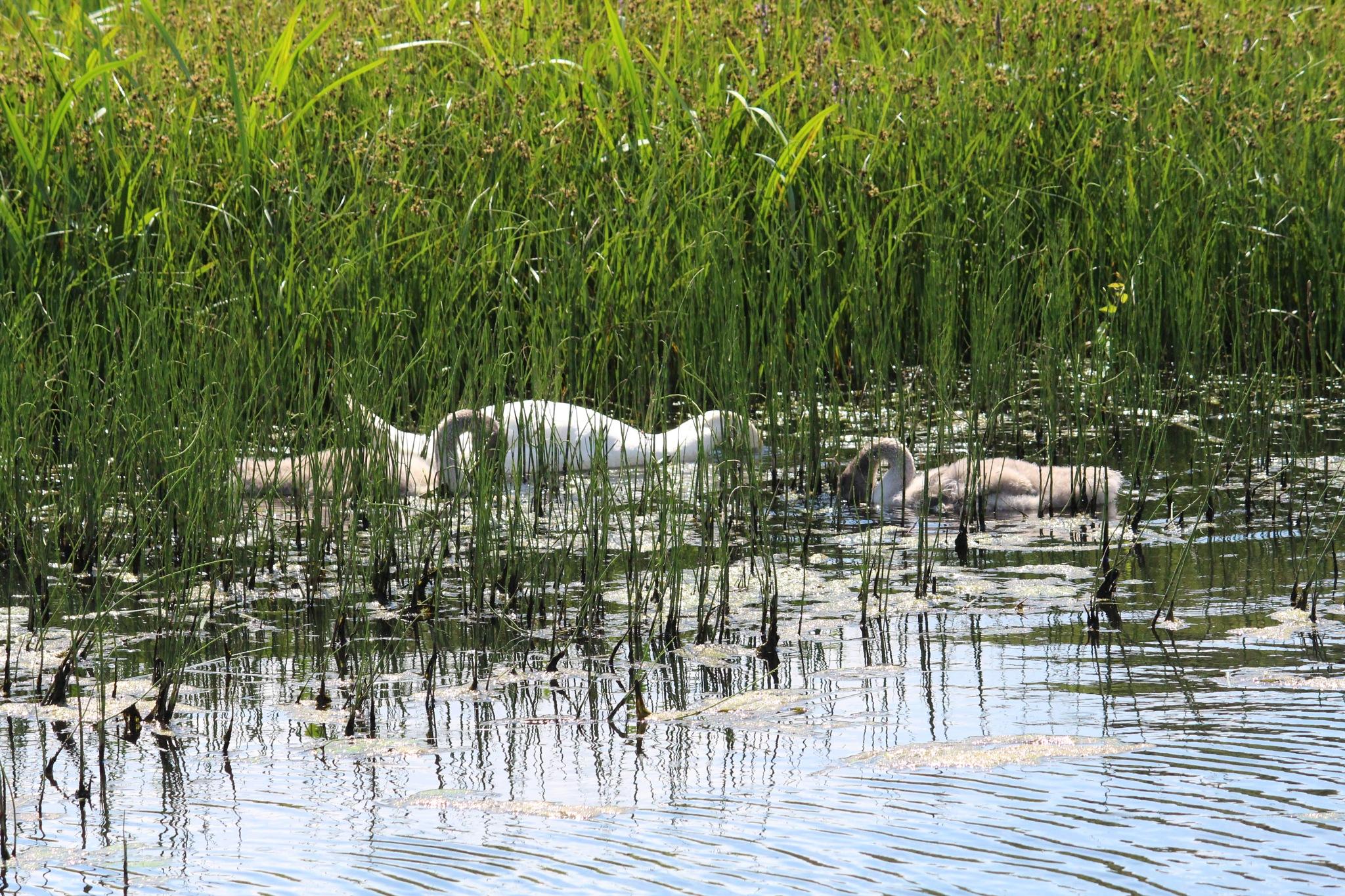 Swans feeding time by FrankieS