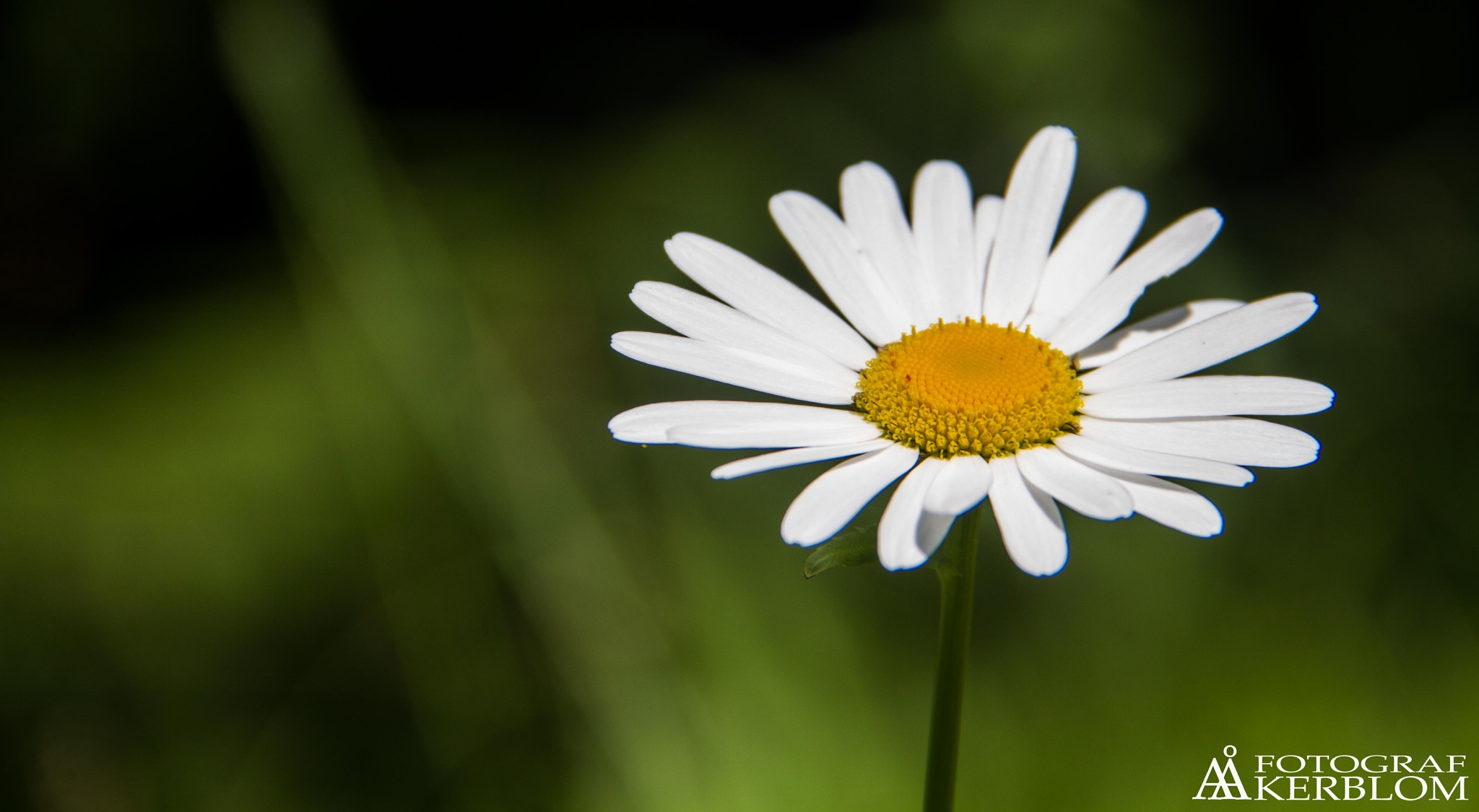 A daisy geting a tan. by Anders Åkerblom