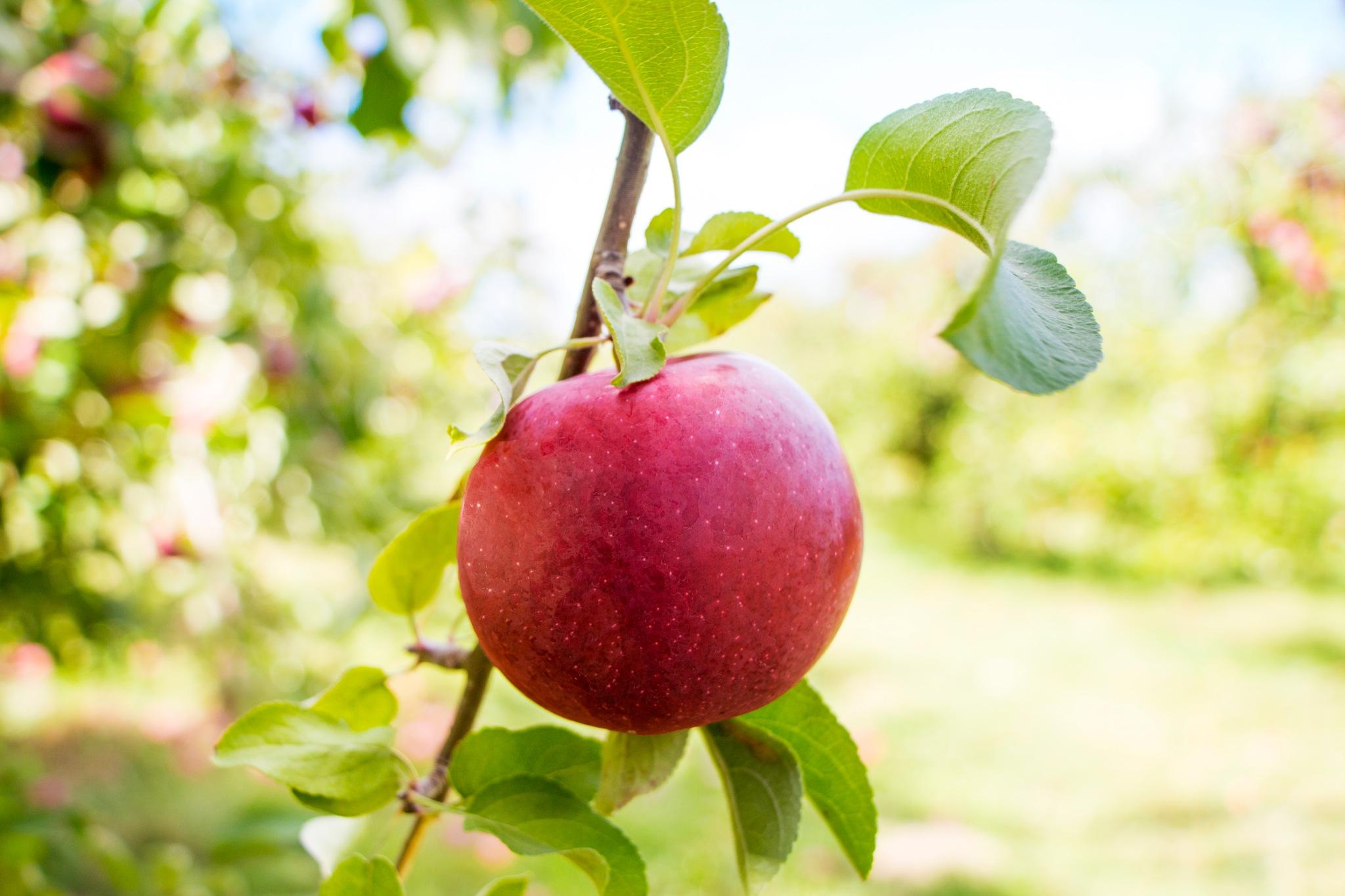 Delighted Apple by Amanda O'Halloran