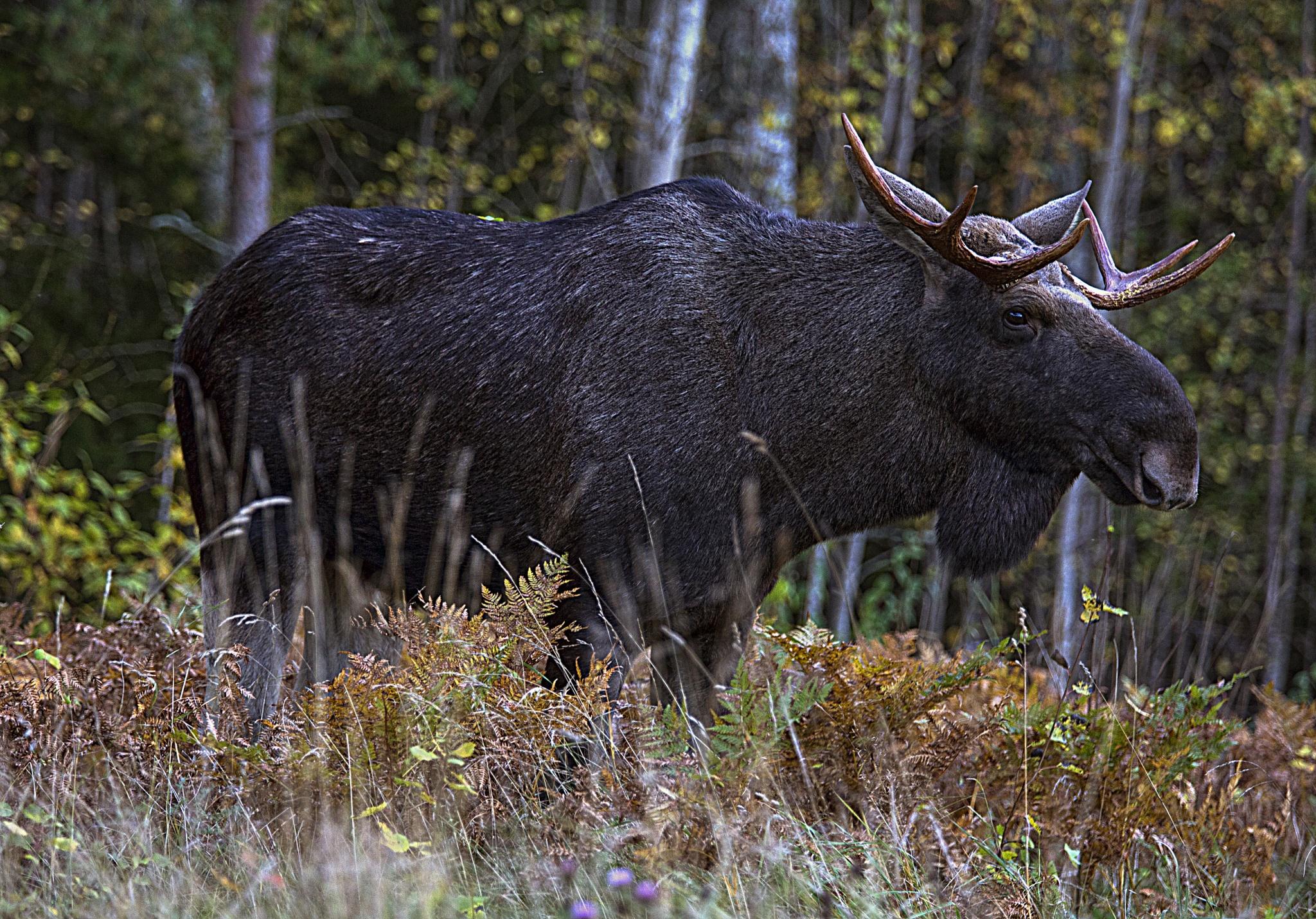 The Elk by Ola Sköld