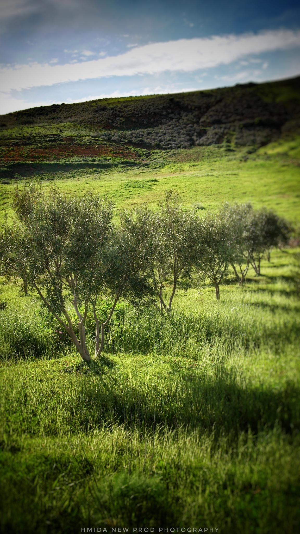 Olive trees by Hmida31
