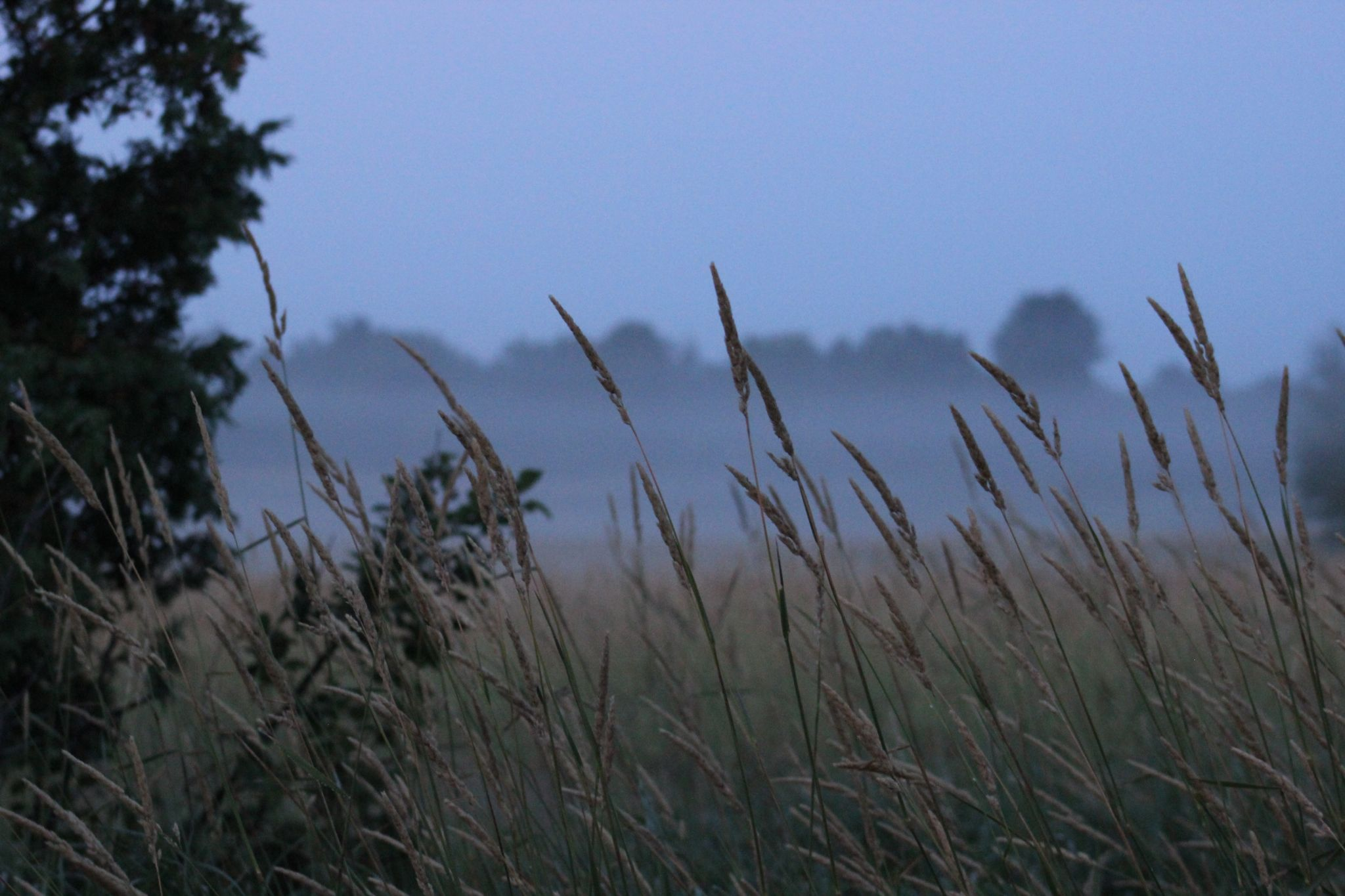 Wheat in fog by April Murata Campbell