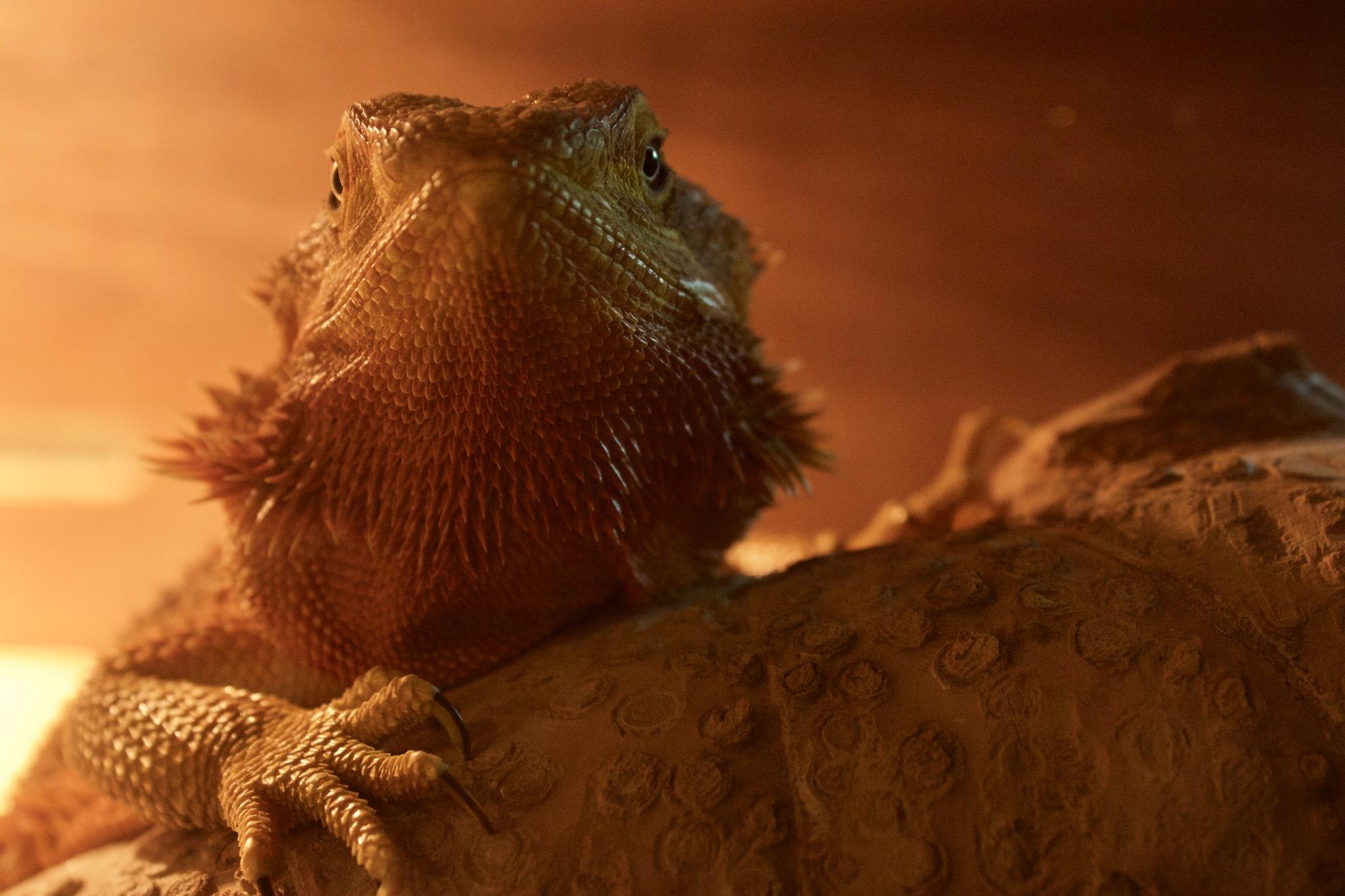 Posing Bearded Dragon #2 by annabelmc
