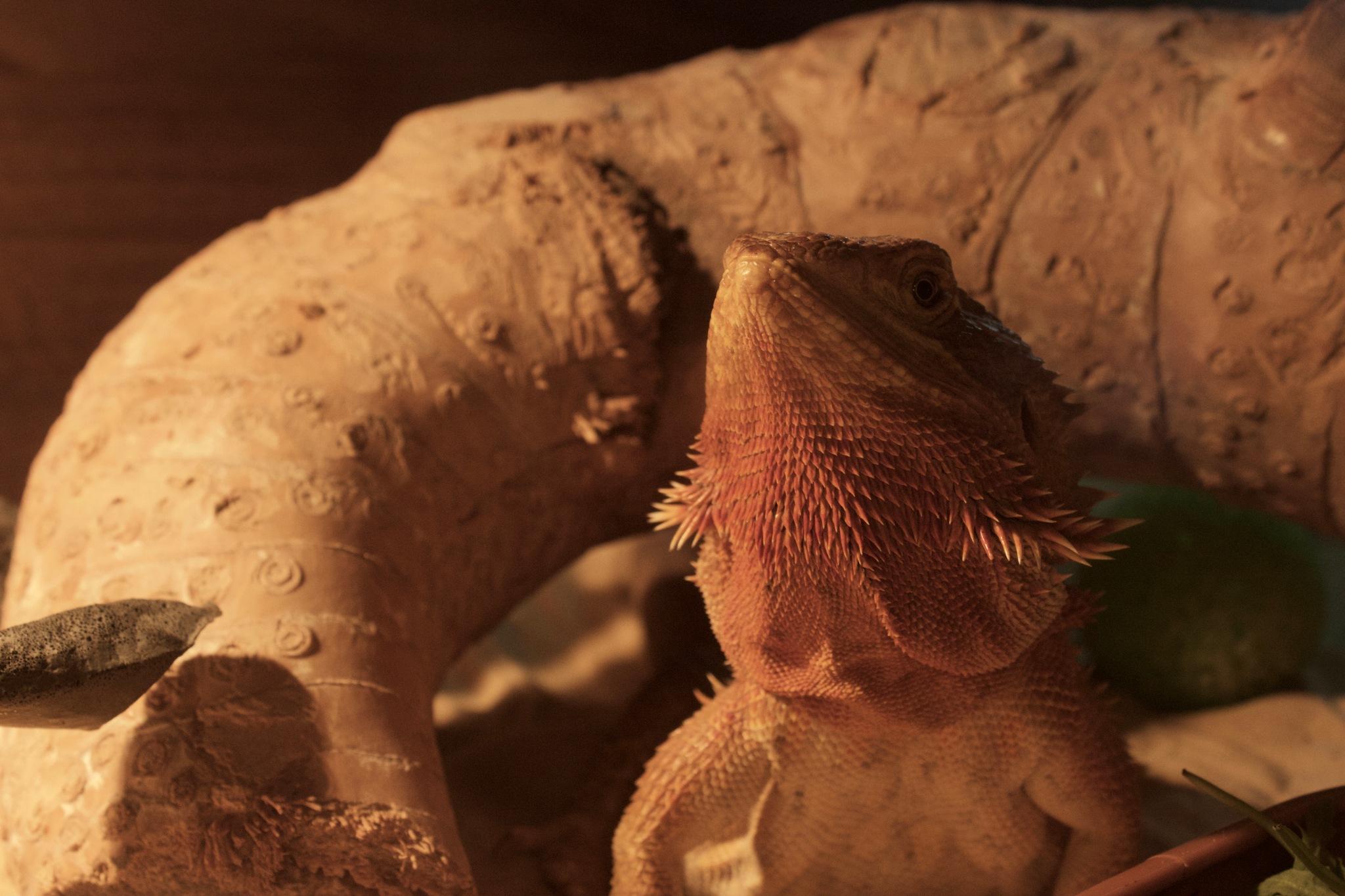 Posing Bearded Dragon by annabelmc