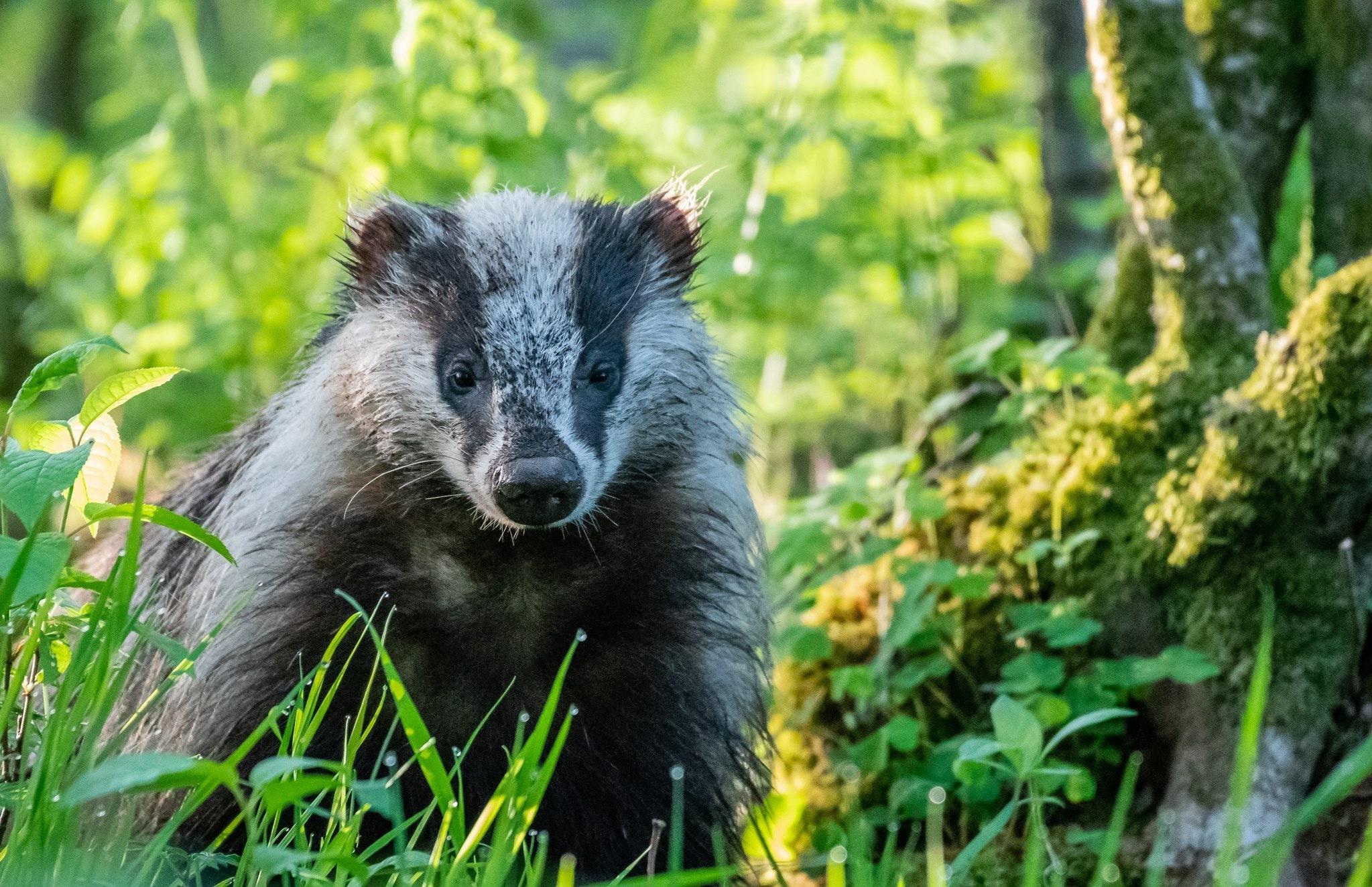 Badger by naturfotomalmedal