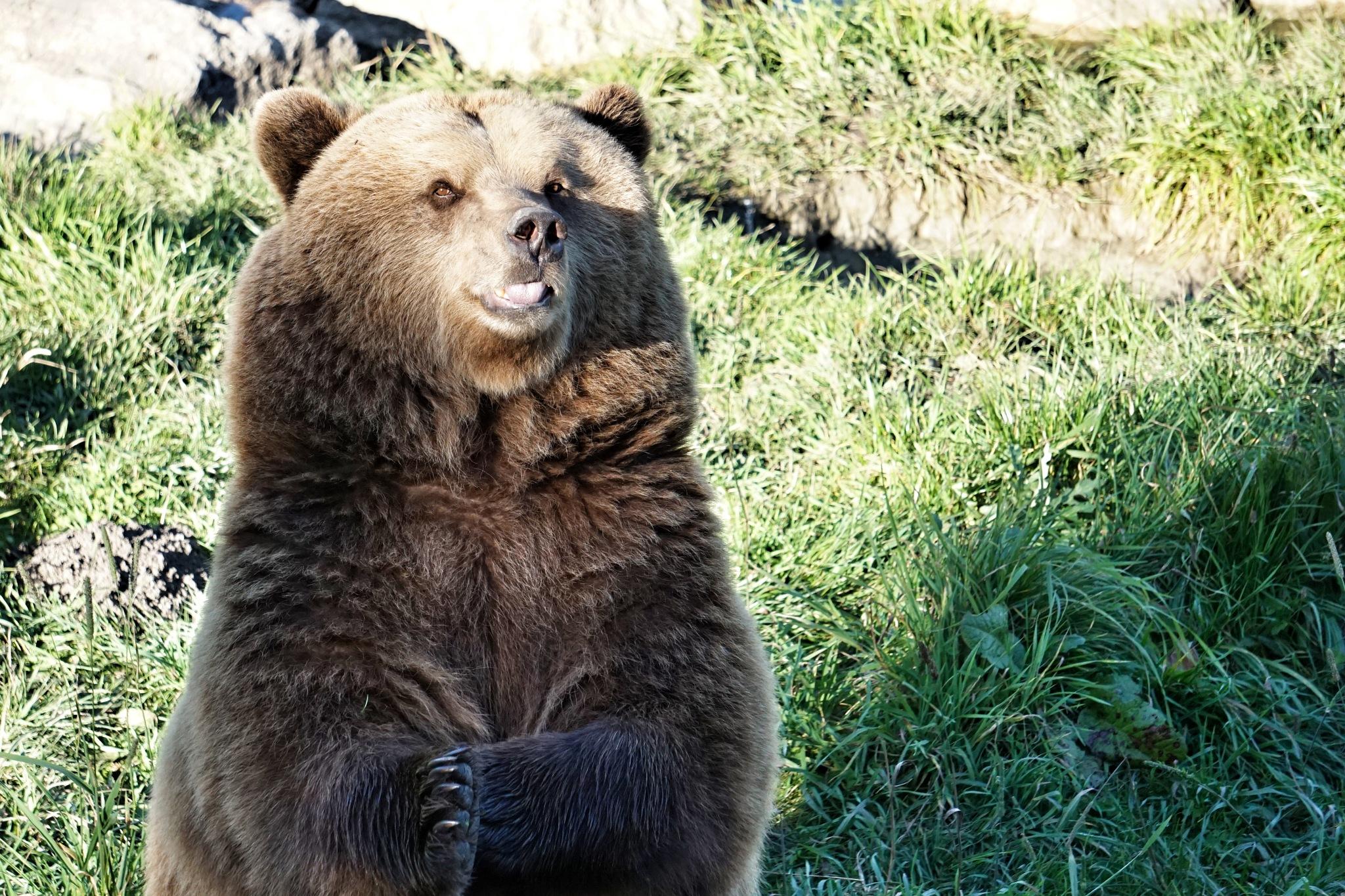 Bear by noerpel